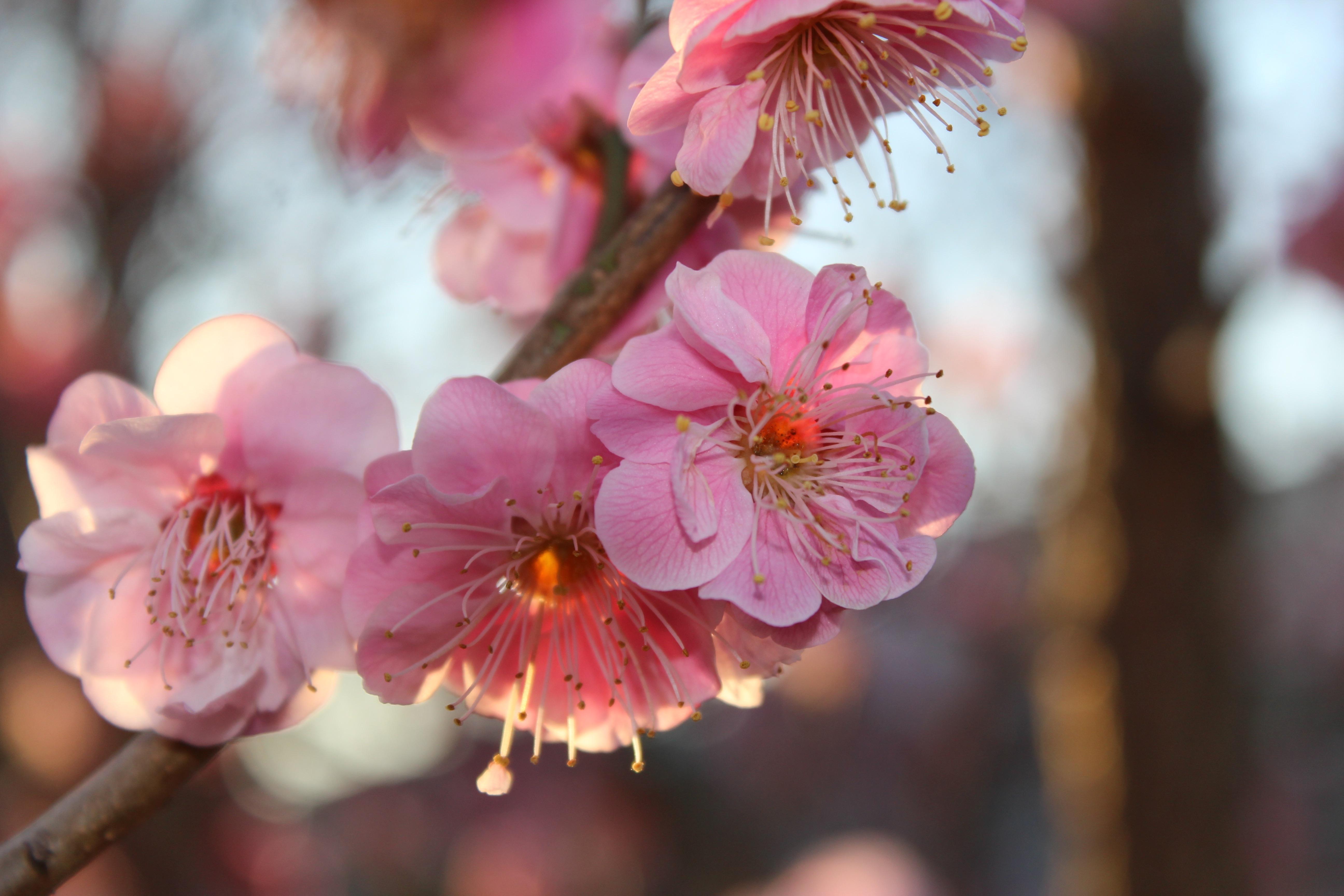 紅梅(こうばい)の花は、今真っ盛りです。