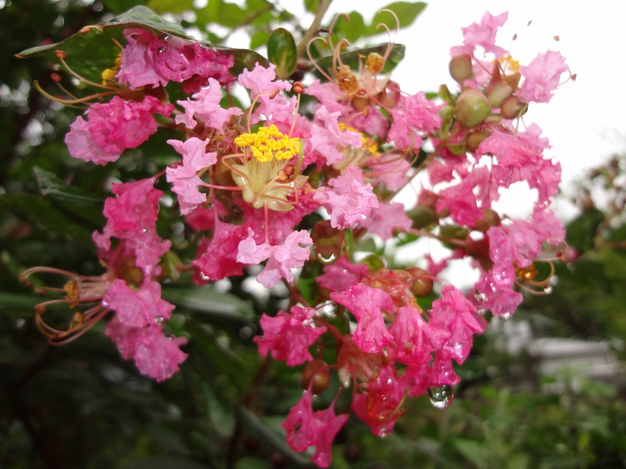 鮮やかなピンクの、百日紅(さるすべり)の花です。