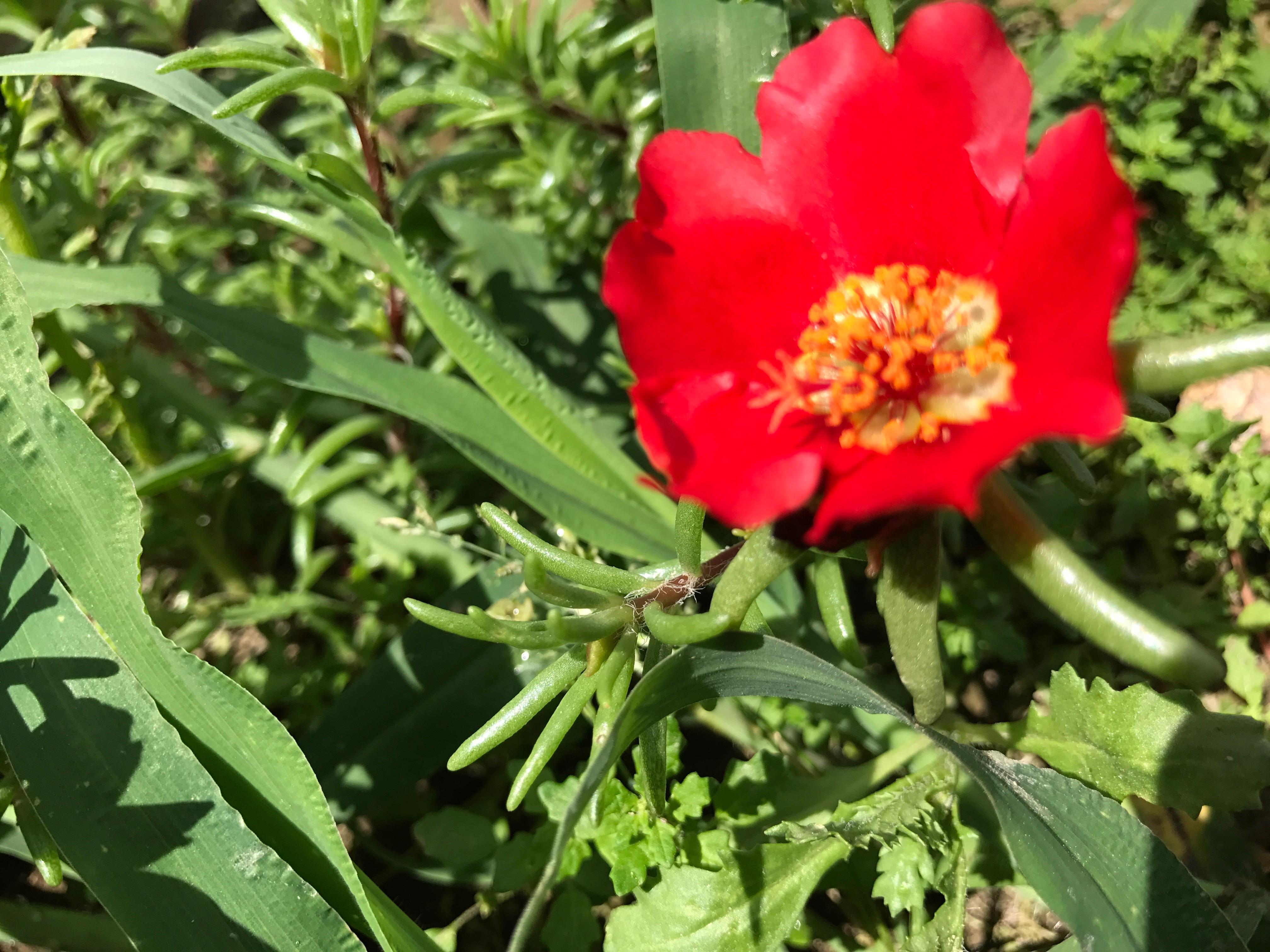 松葉牡丹(まつばぼたん)でしょうか、鮮やかな愛らしい花が咲いていました。