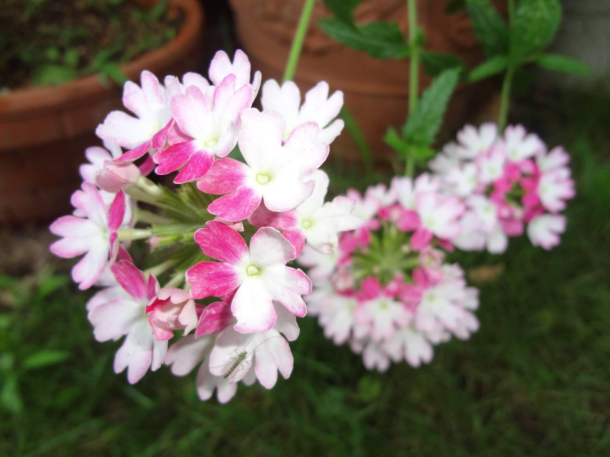 美女桜(びじょざくら)バーベナの花です。