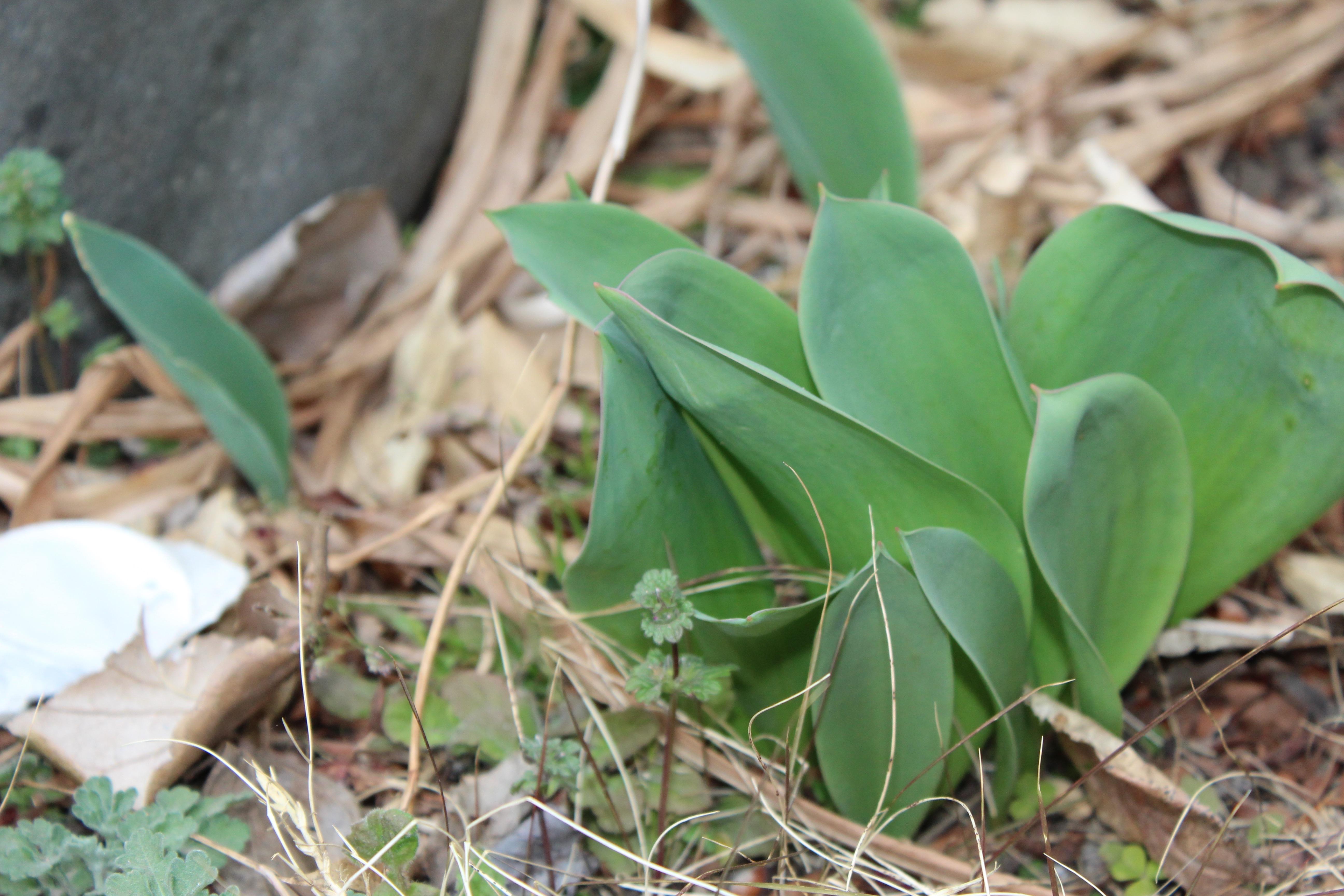 今日の誕生花のチューリップは、一気に葉を伸ばしてきました。