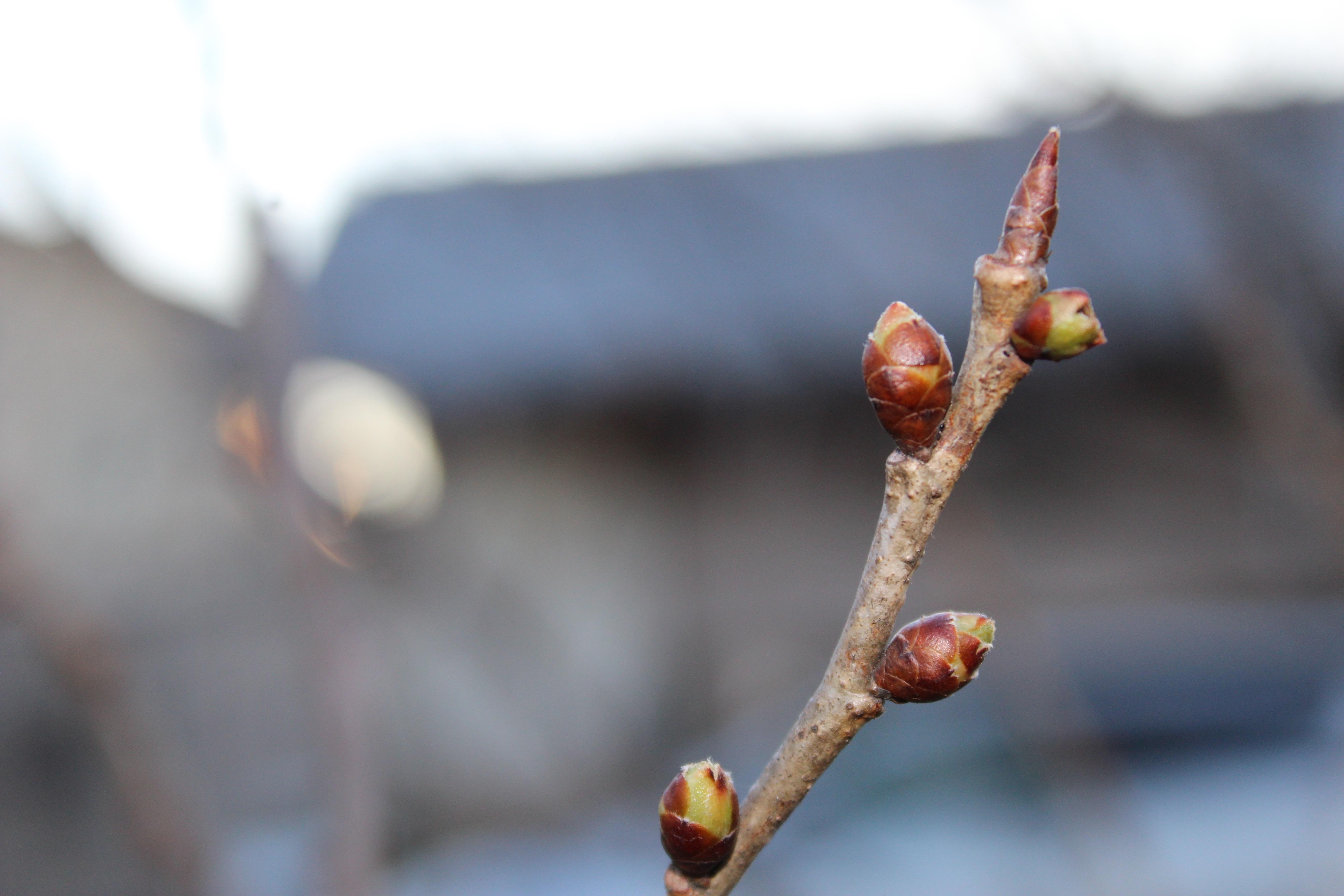 桜桃(さくらんぼ)の蕾も、パンパンにエネルギーが満ちてきました。