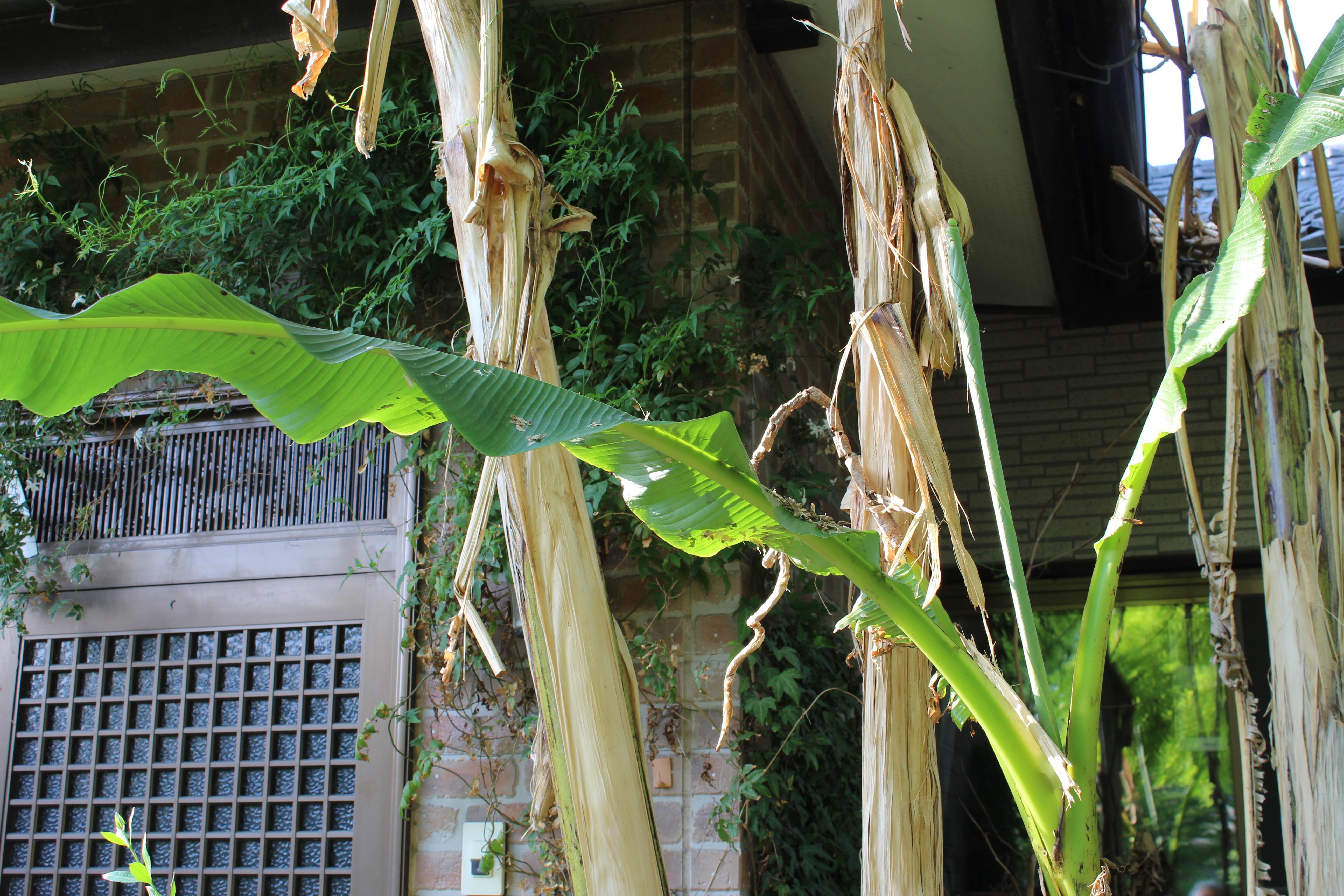 今年もバナナの豪快な葉がたくさん出てきています。