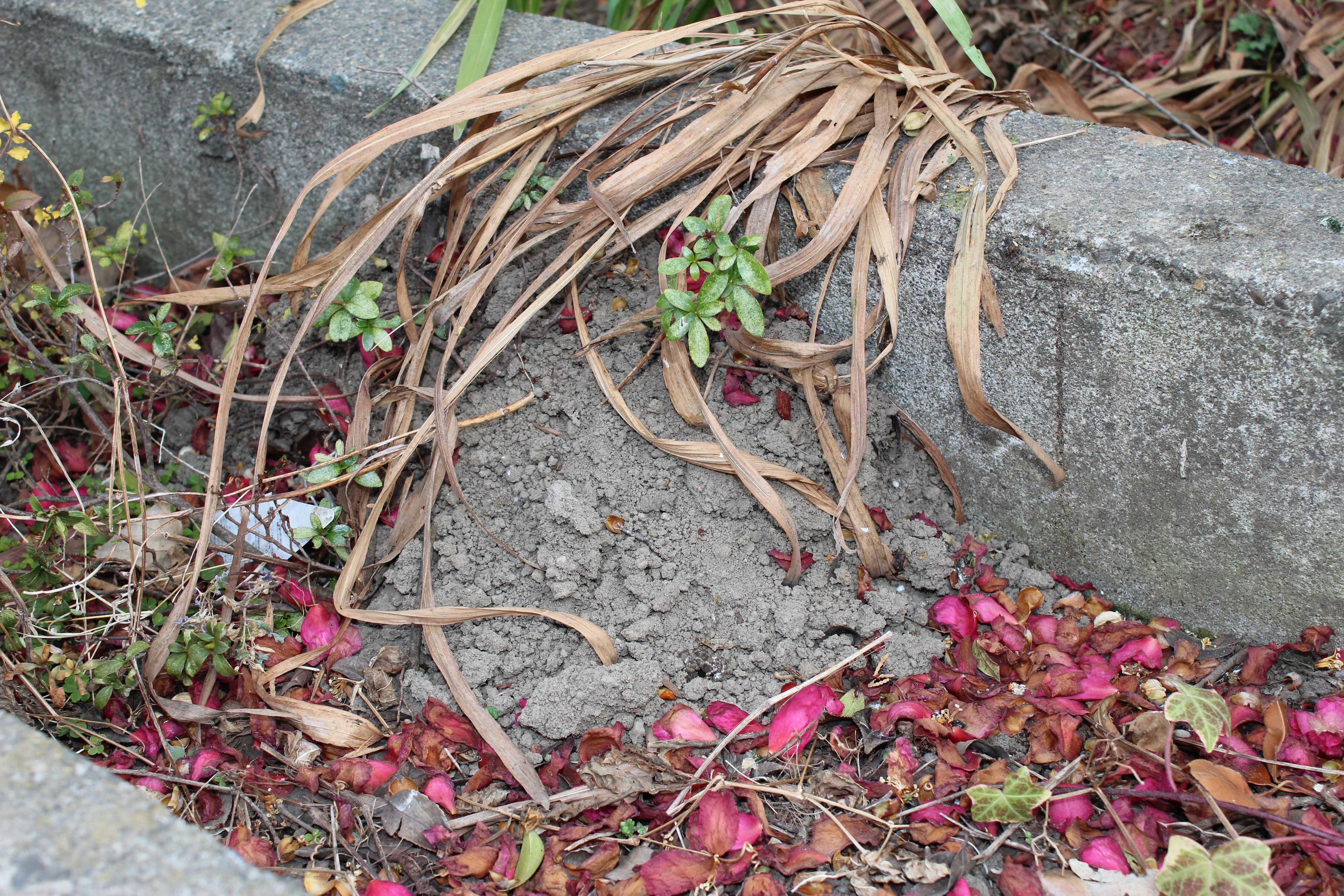 冬の風物詩になっている、モグラ塚が今年もたくさん盛り上がっています。