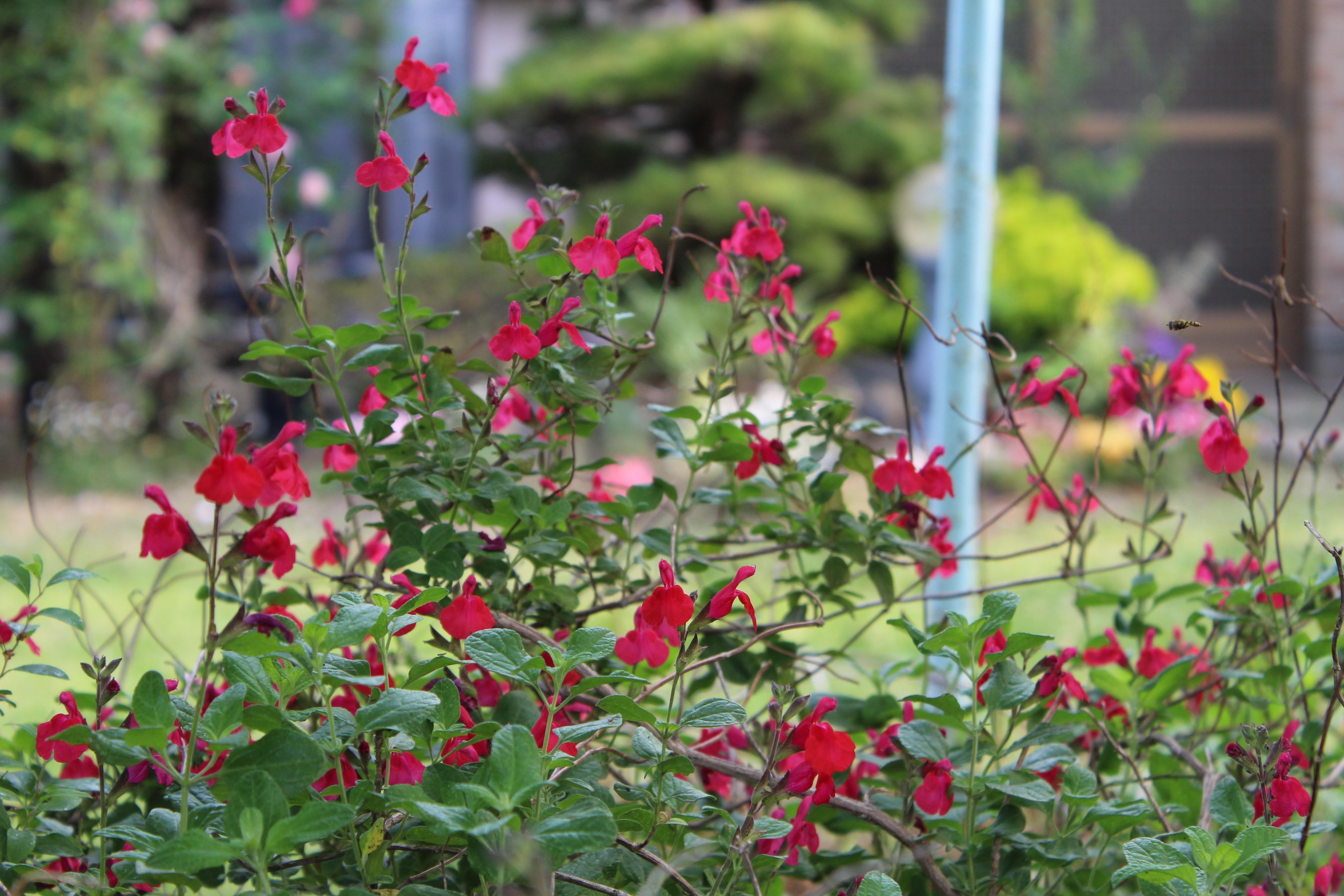 チェリーセージの情熱の赤い花がたくさん咲いてきました。