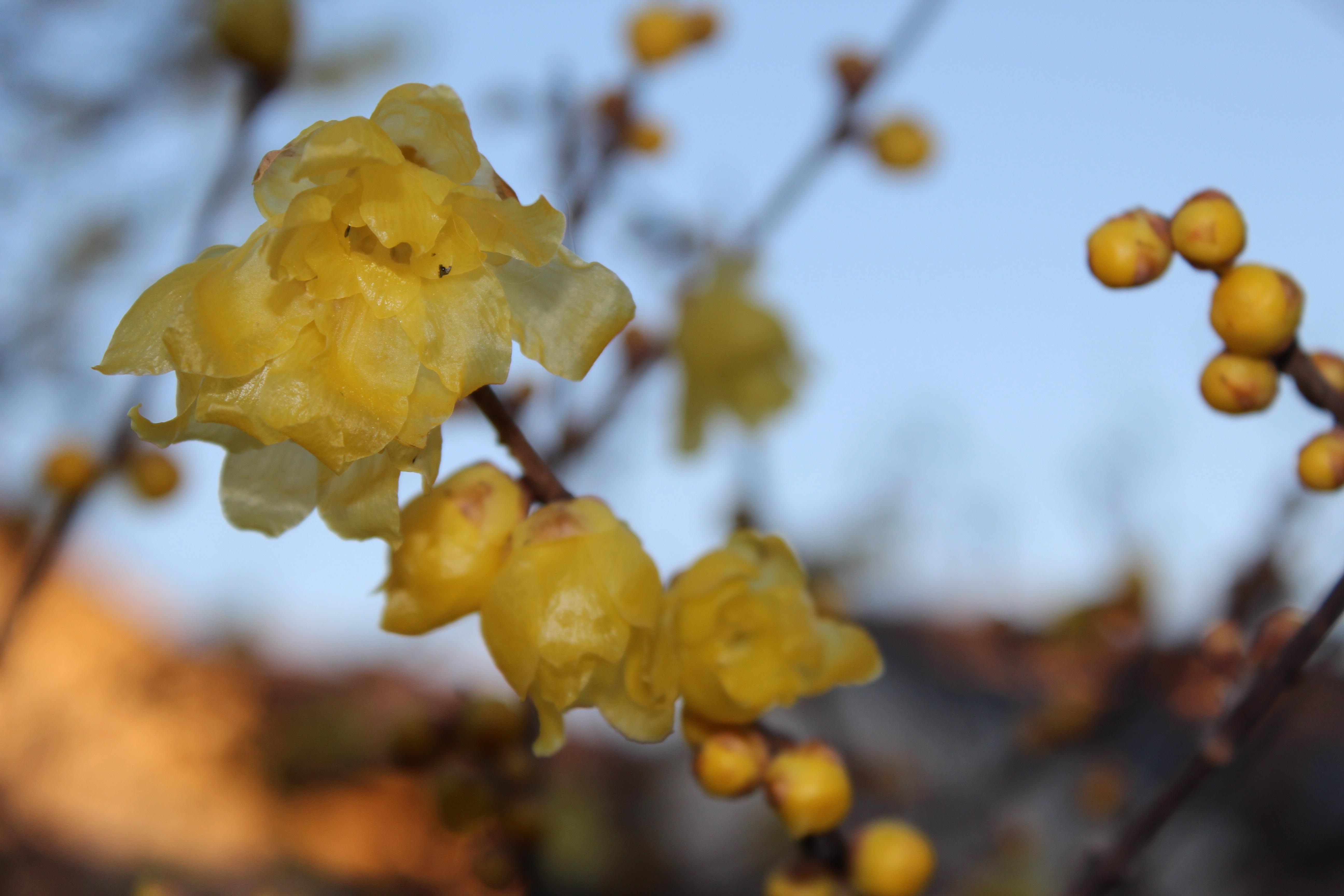 今日の誕生花の蝋梅(ろうばい)は、今年は咲き揃いが早いですね。