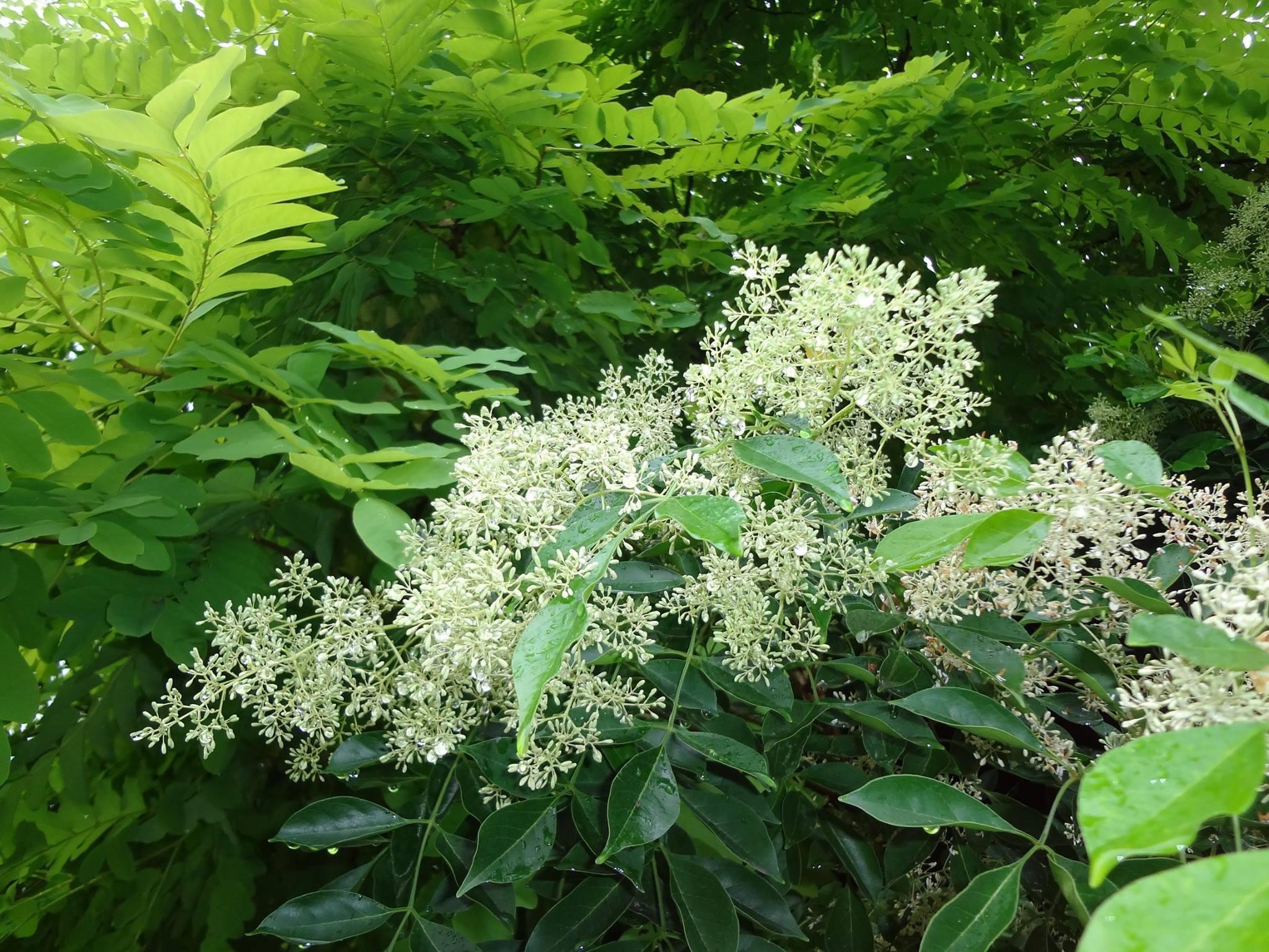 島戸錬子(しまとねりこ)の花です。