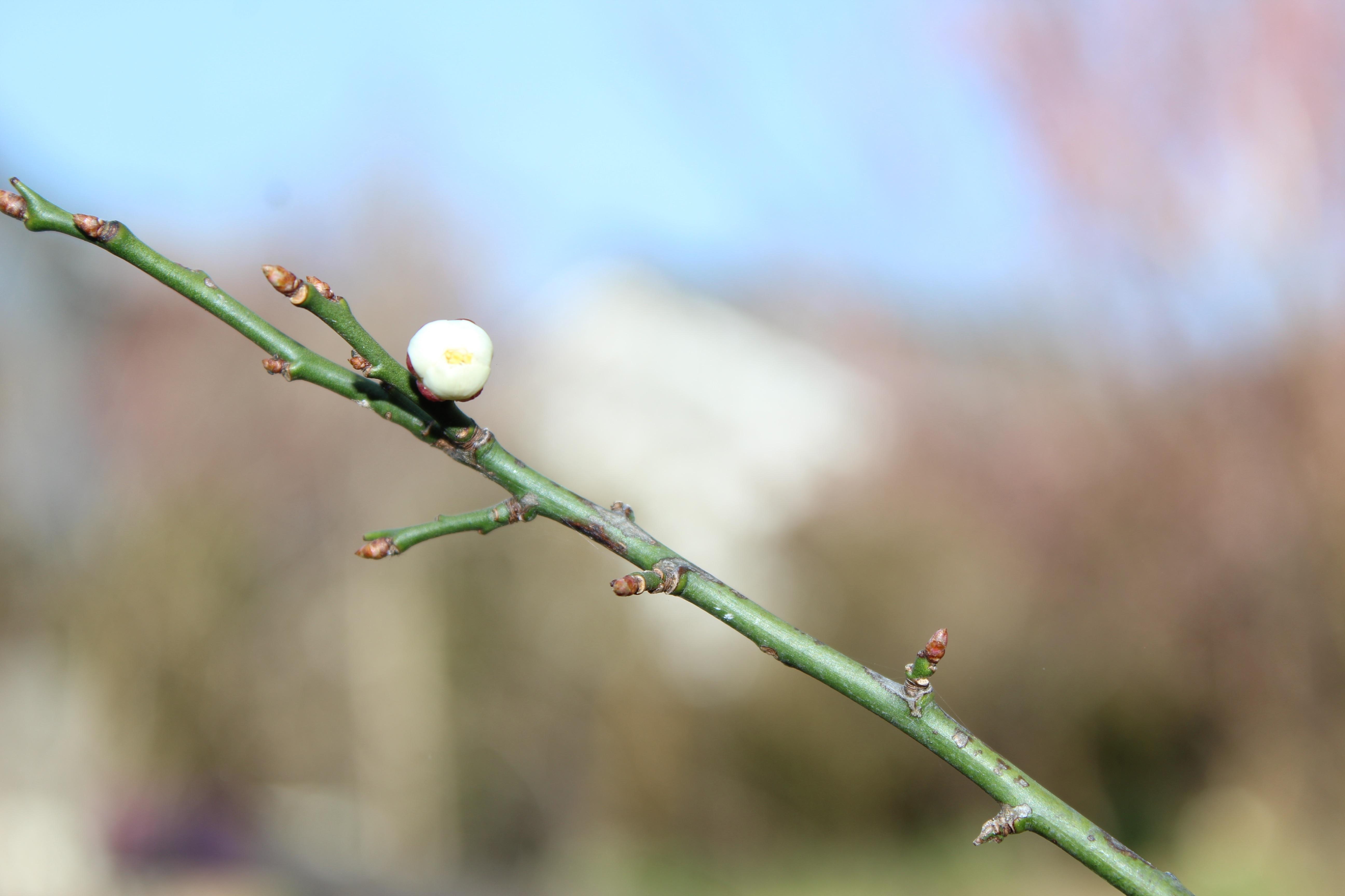 いよいよ白梅が咲き始めてきました。