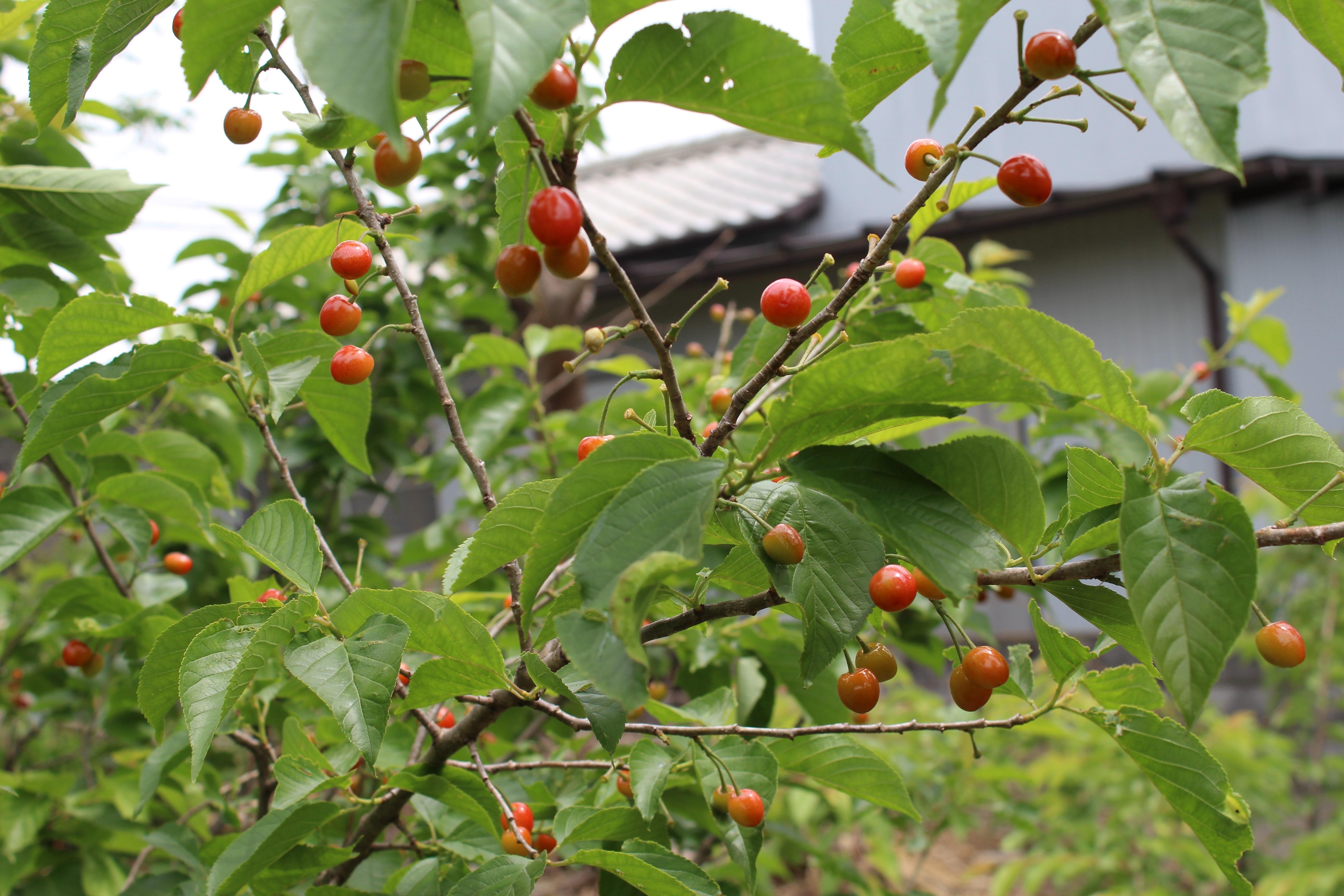 宝石のような、桜桃(さくらんぼ)の実がたくさん成っています。