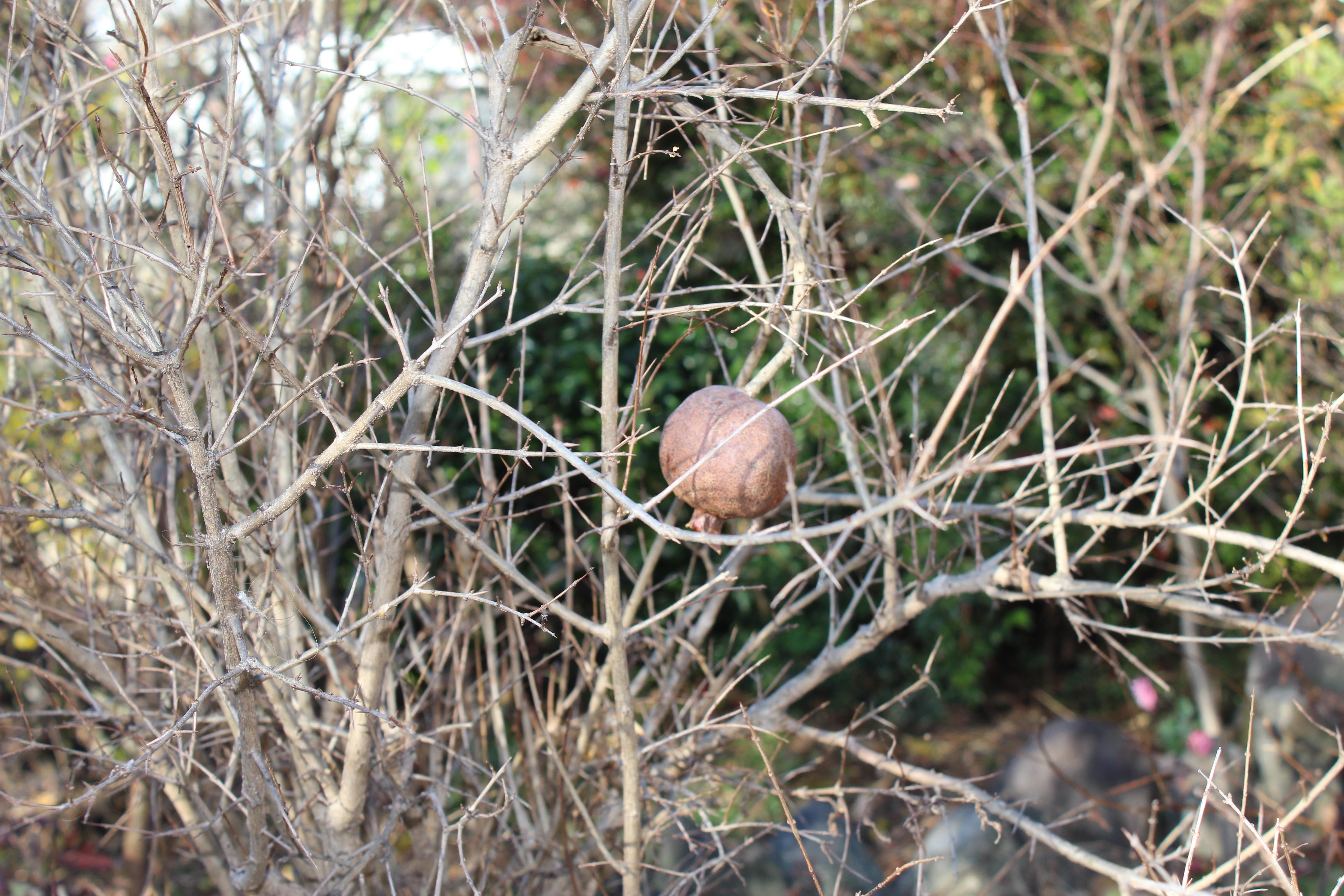 今年初めて結実した、唯一の柘榴(ざくろ)です。