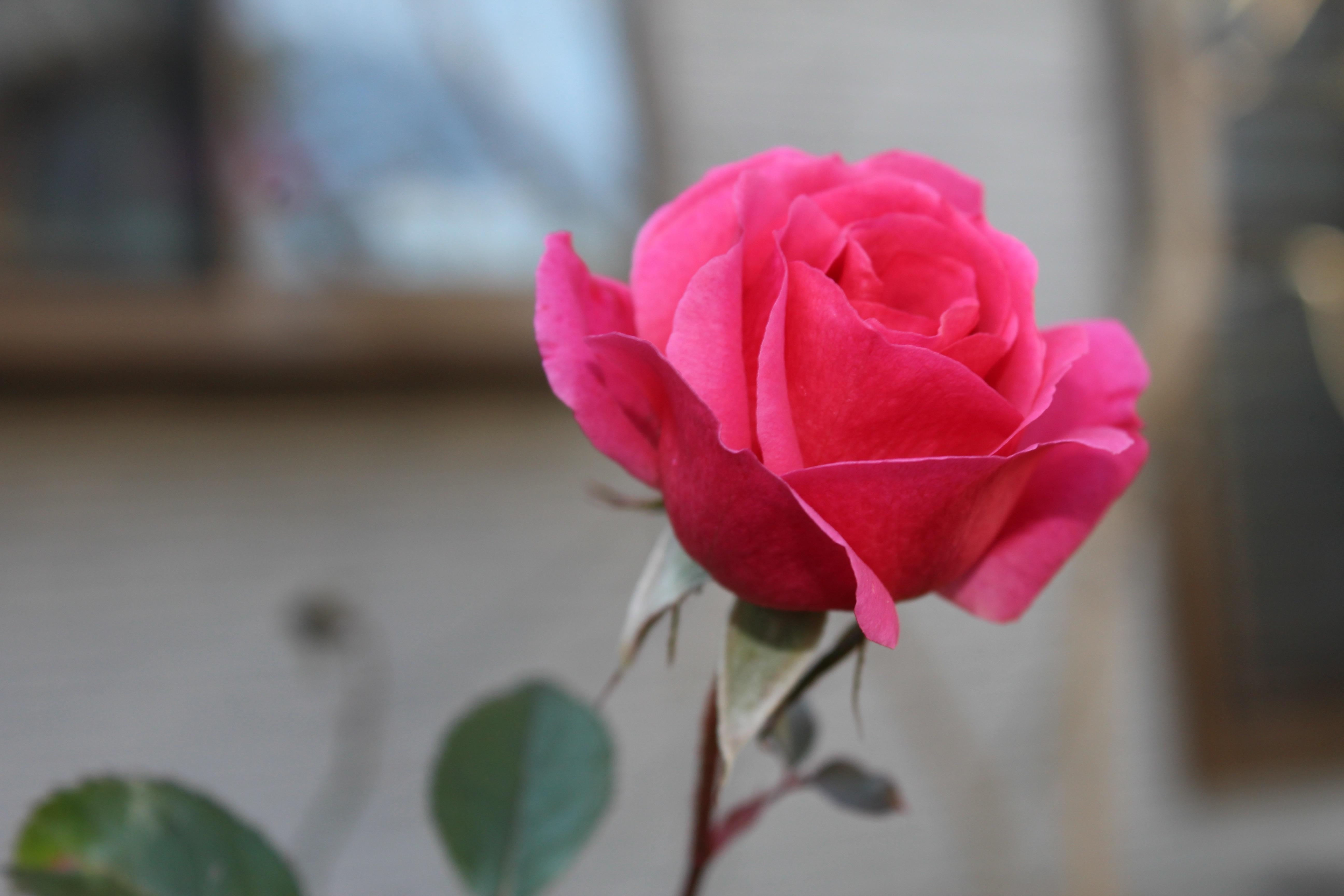 今日の誕生花の薔薇は、数十年ぶりの寒波も雪も経験してなお、美しく咲いているジェネラシオン・ジャルダンです。