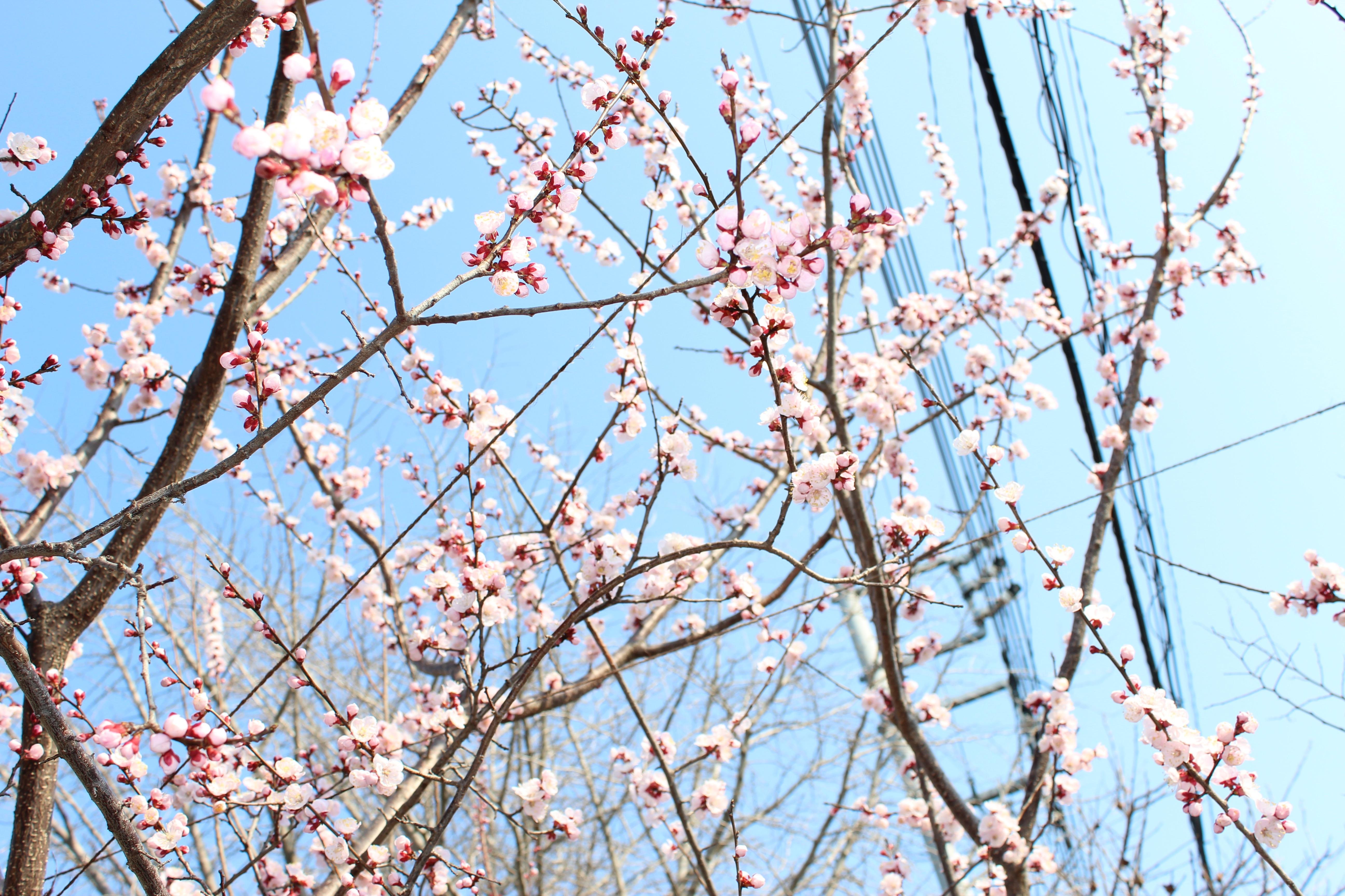 杏(あんず)の花が咲き揃ってきて、満開になってきました。