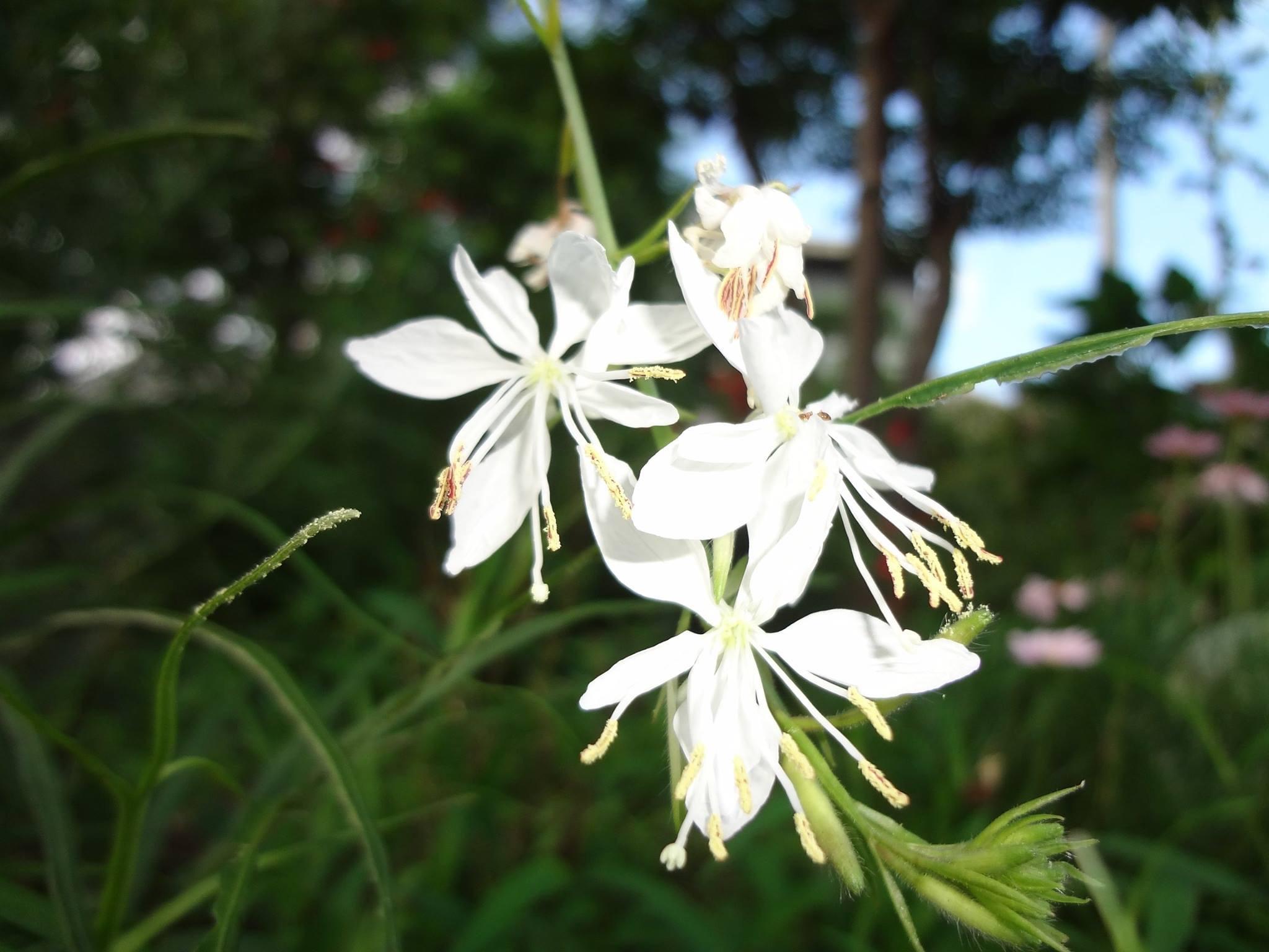 白蝶草(はくちょうそう)ガウラの純白の花です。