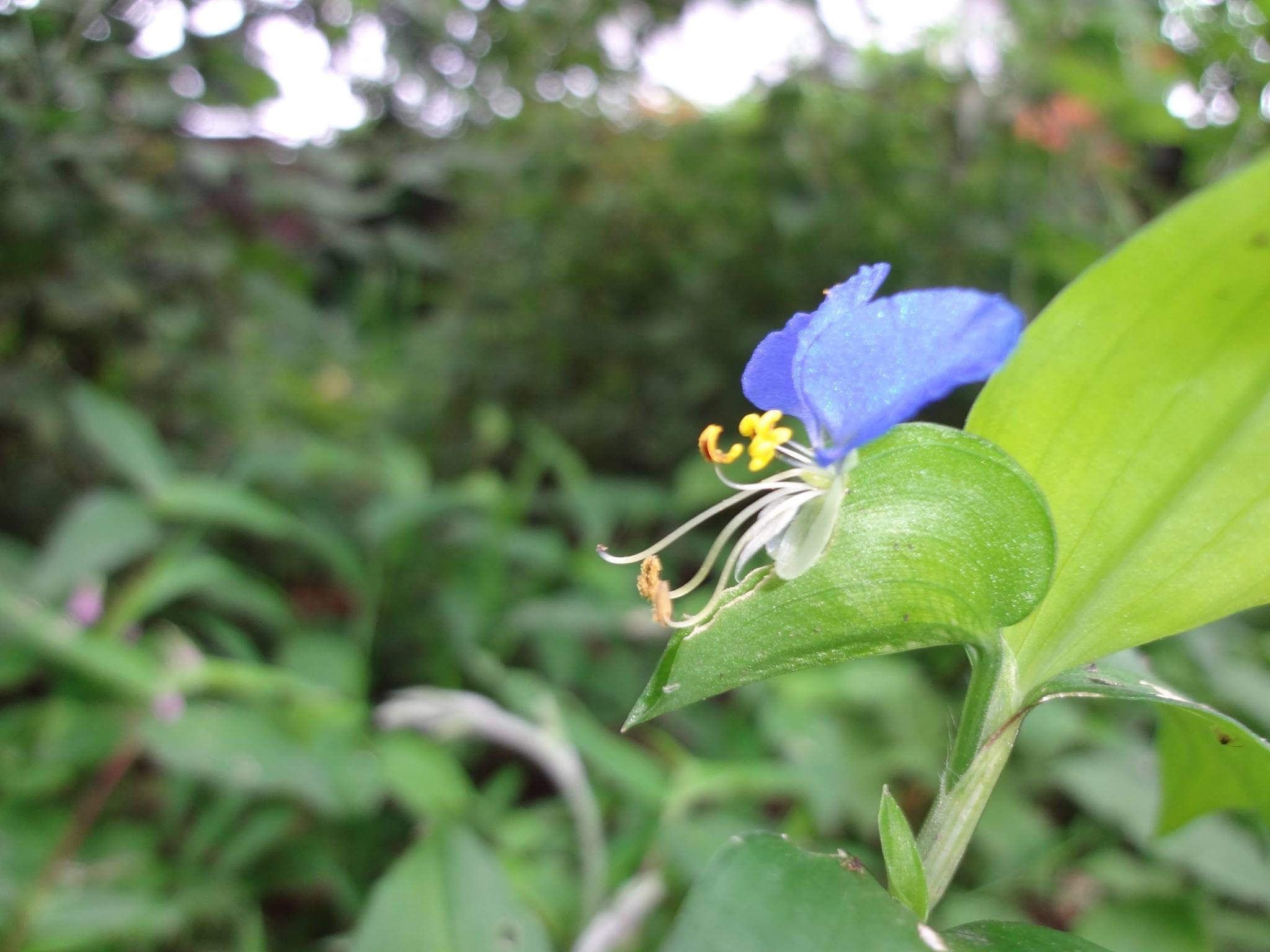 露草(つゆくさ)の花です。