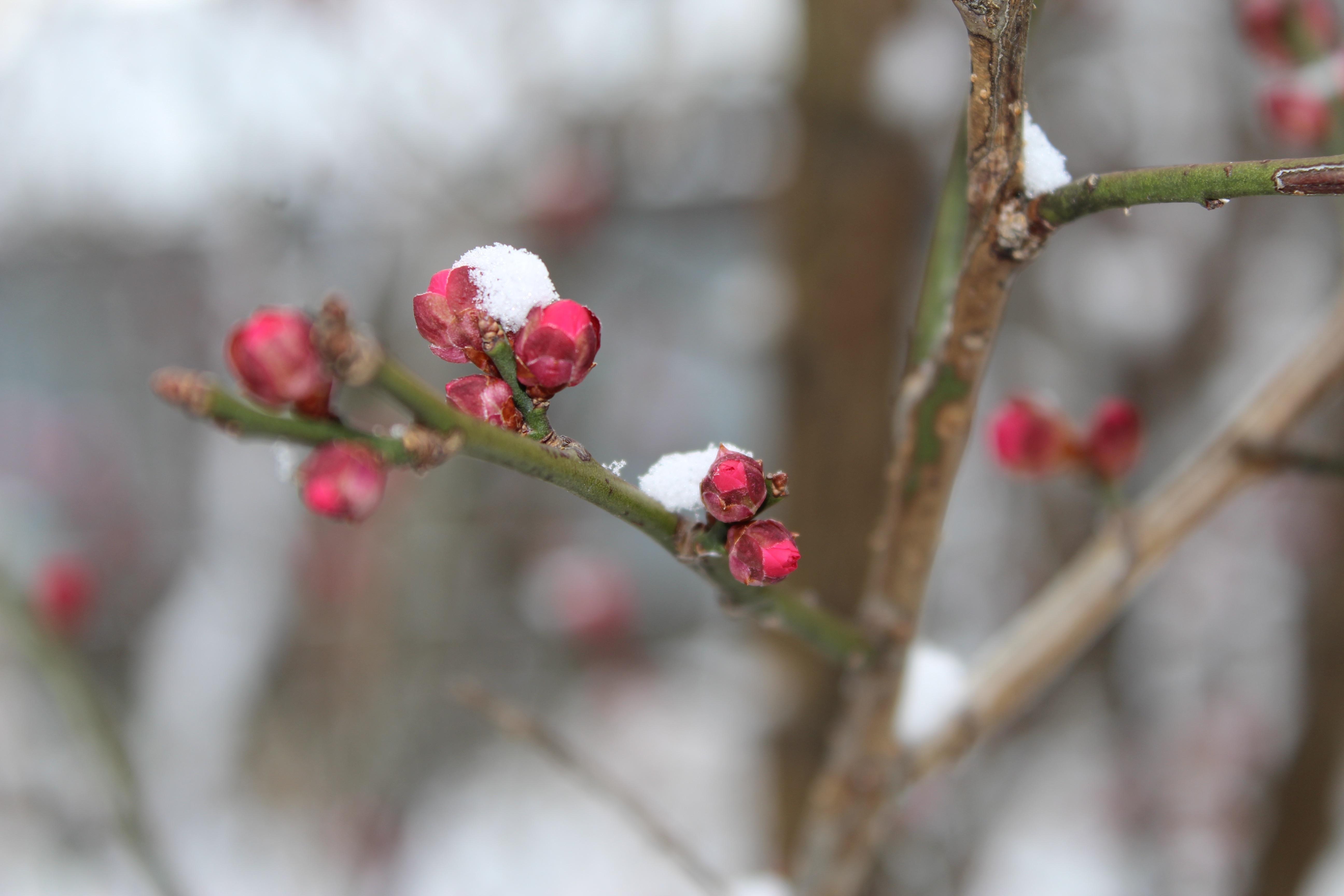 この冬二度目の雪の花が満開になりました。