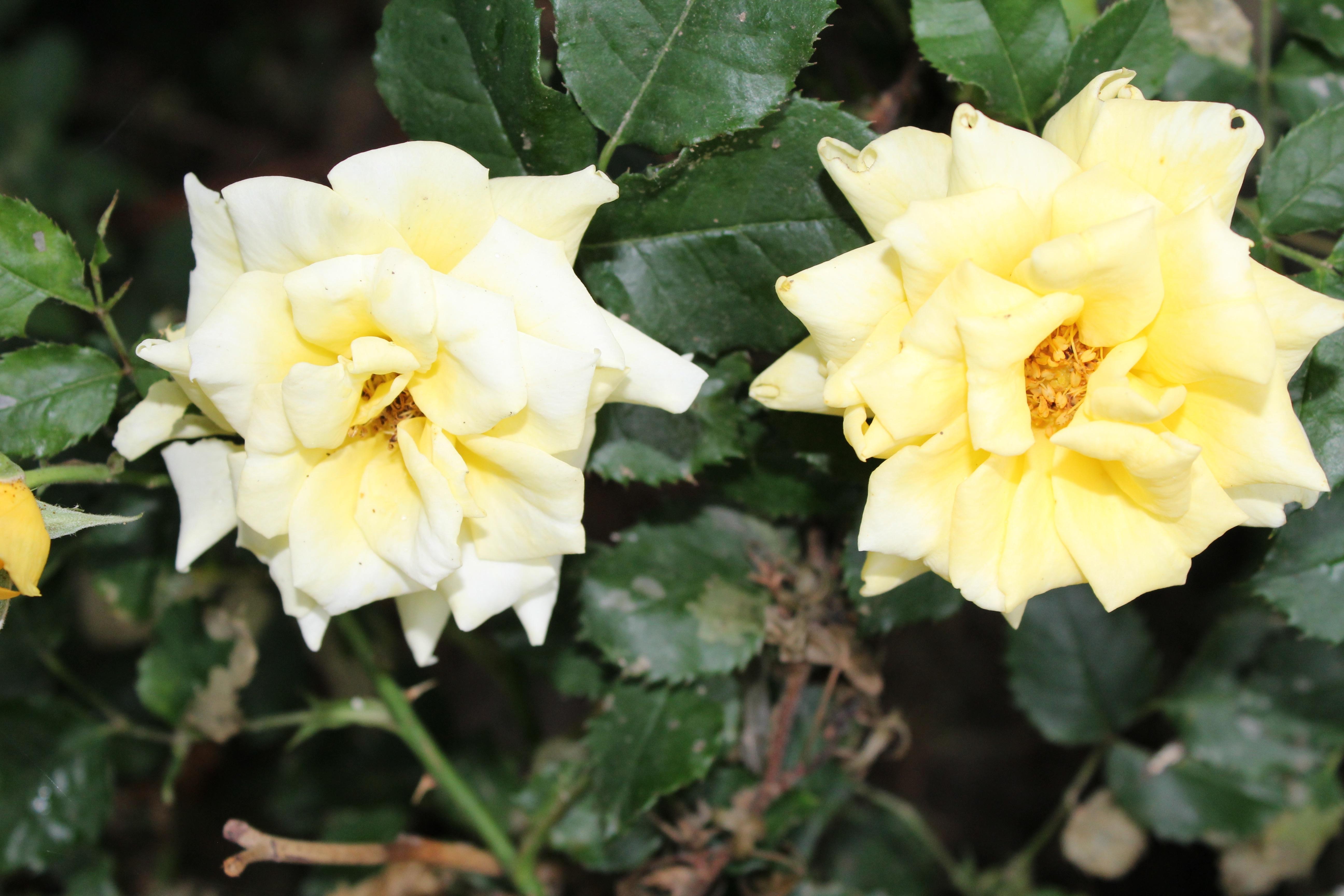 鮮やかな黄色が眩しい、ゴールドバニーの花です。