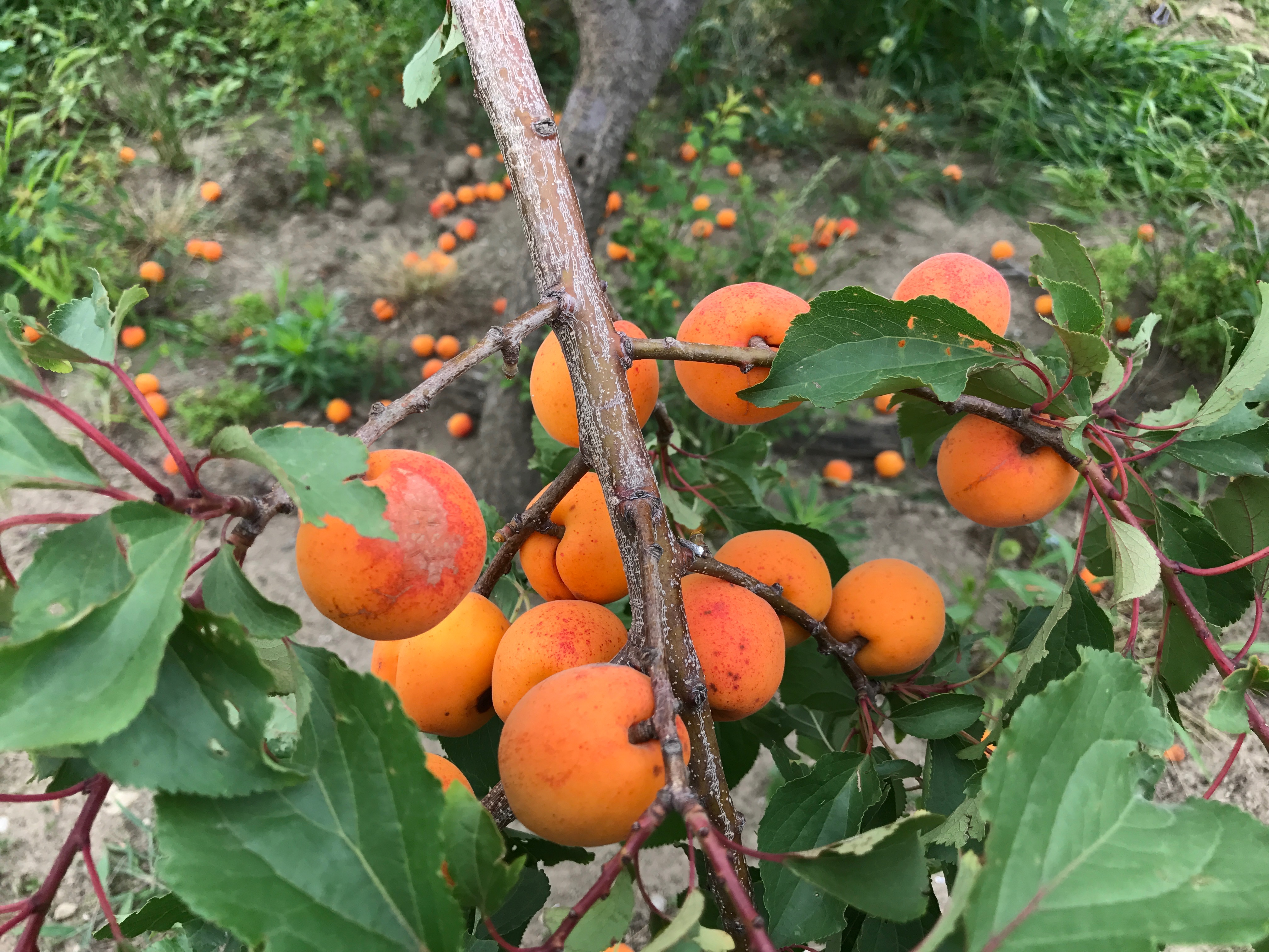 杏(あんず)の実が収穫の瞬間を迎えています。