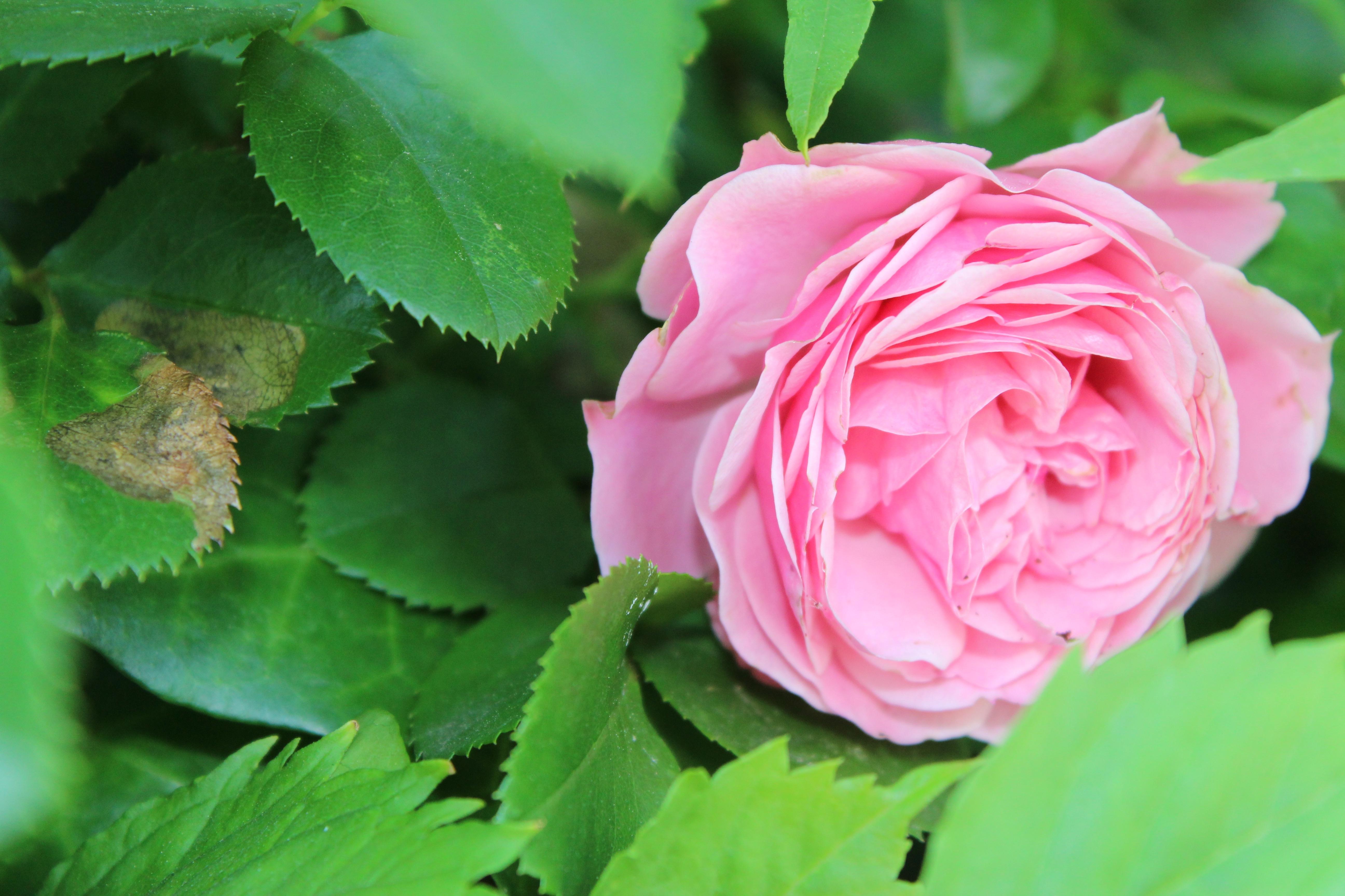 返り咲きの薔薇、レオナルドダビンチの花は初めて見ました。