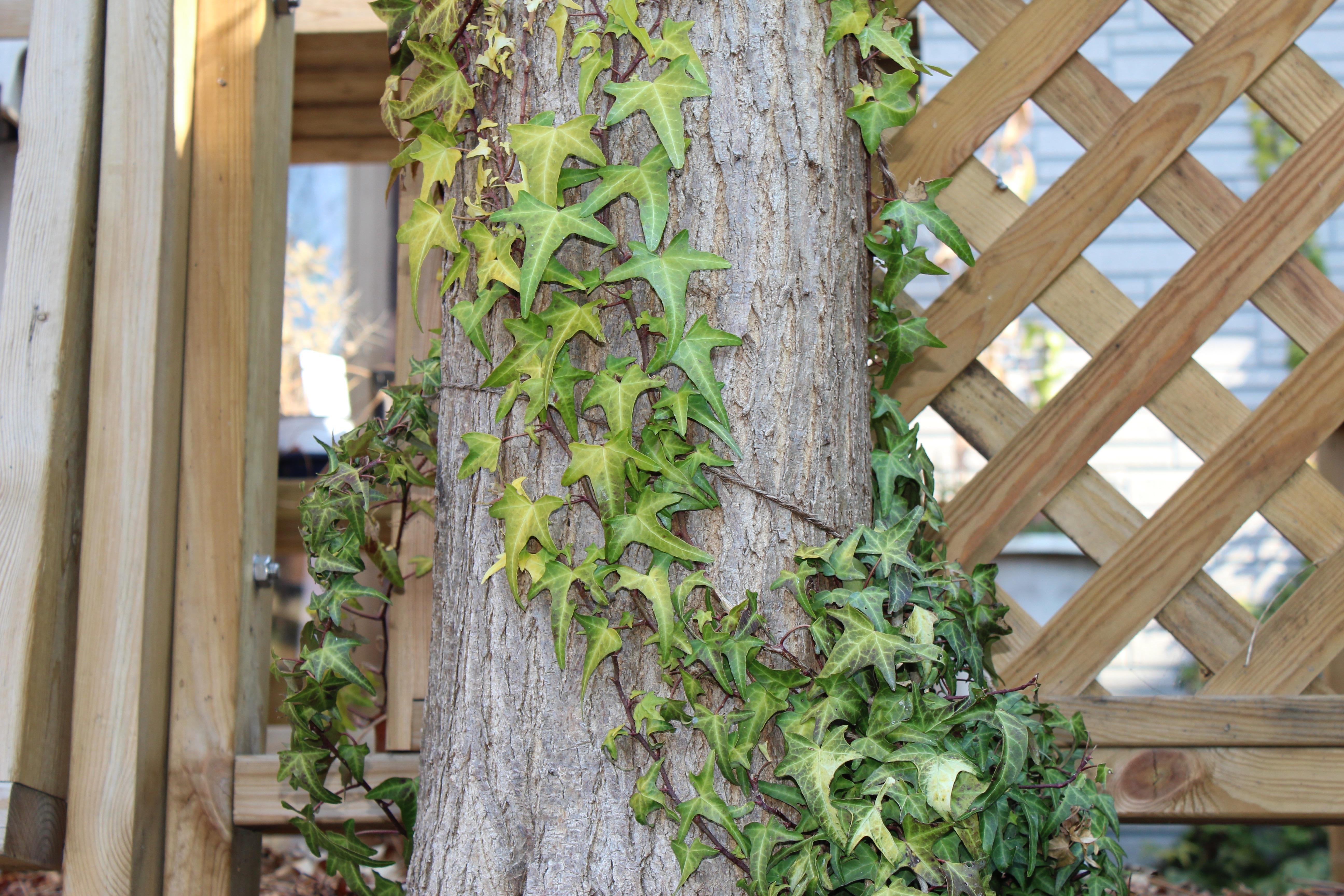 今日の誕生花の針槐(はりえんじゅ)のフリーシアは、スロースターターなので、まだ新芽は見えてきていません。