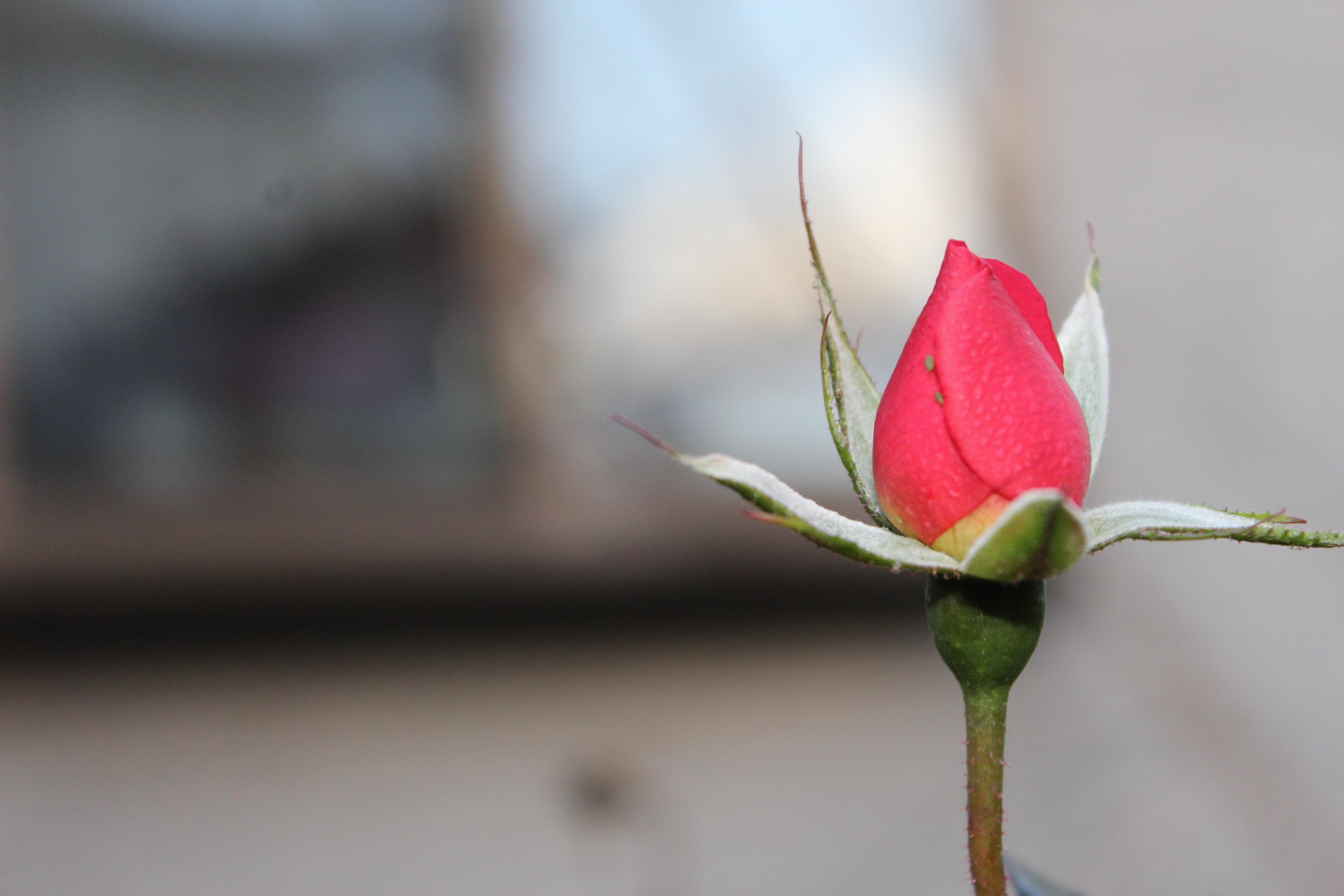 四季咲きの半つるバラ、ジェネラシオン・ジャルダンが美しく咲いてきました。