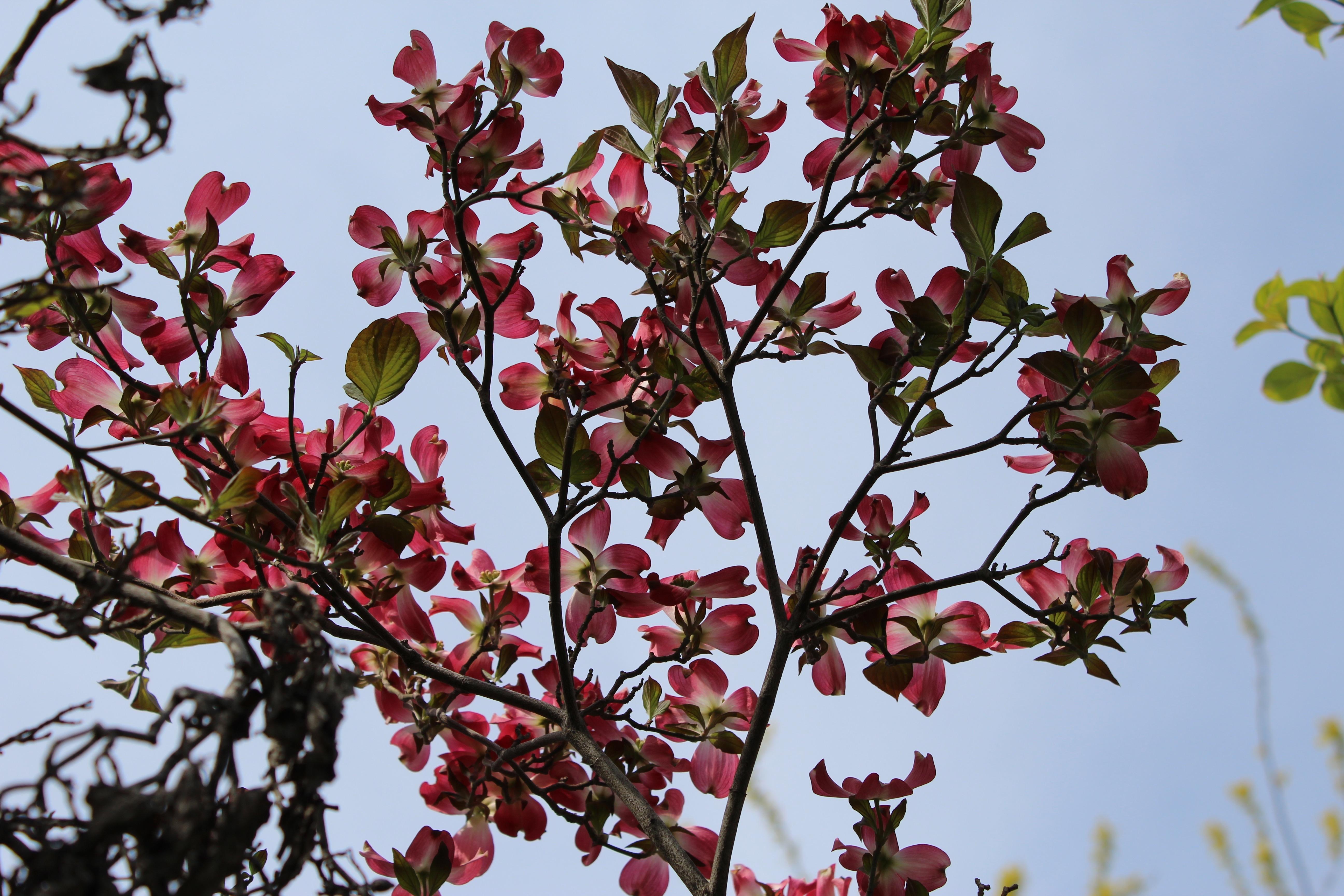 花水木(はなみずき)の萼は満開、花も咲いていました。