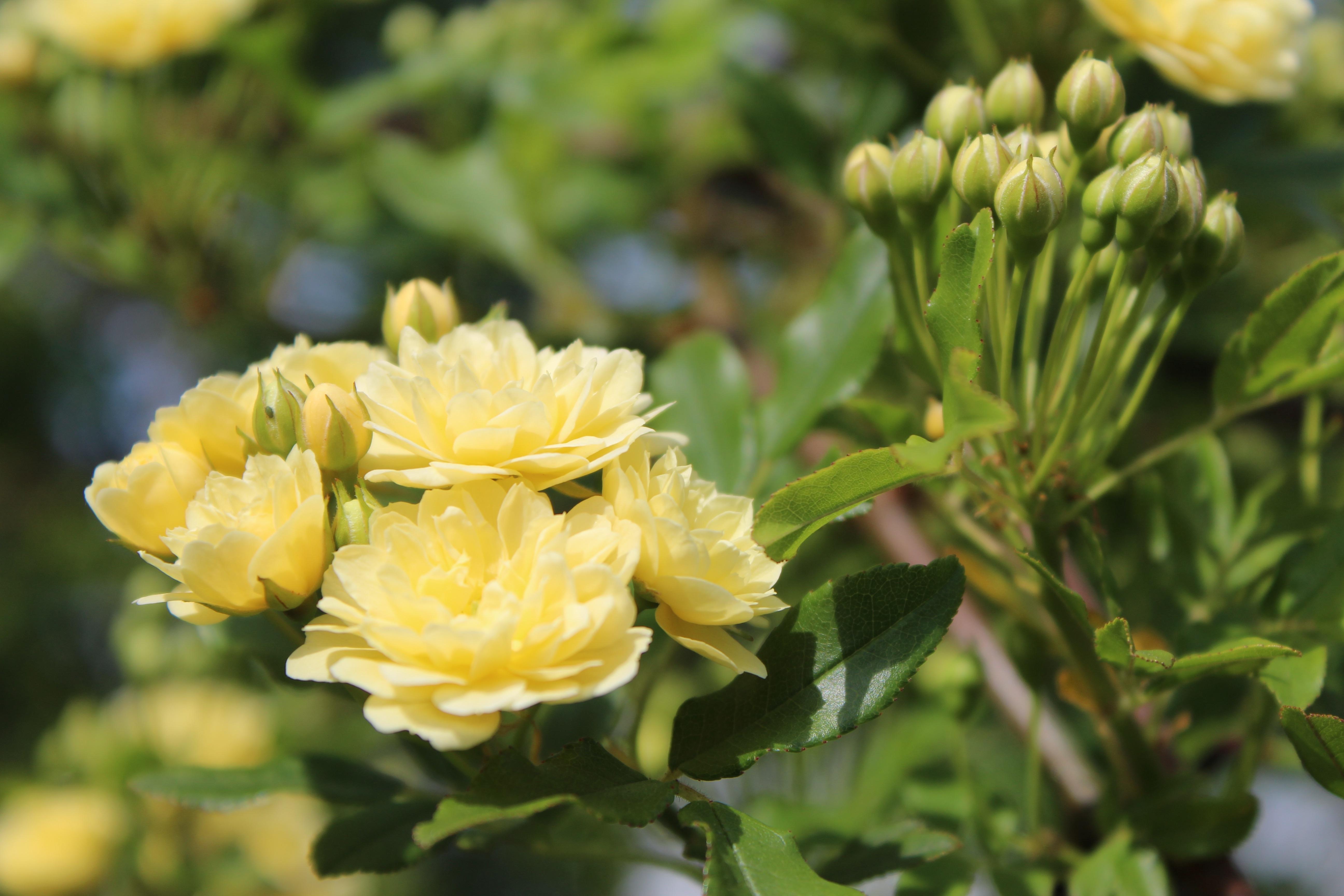 木香薔薇(もっこうばら)の温かな花が、春の香りを漂わせています。