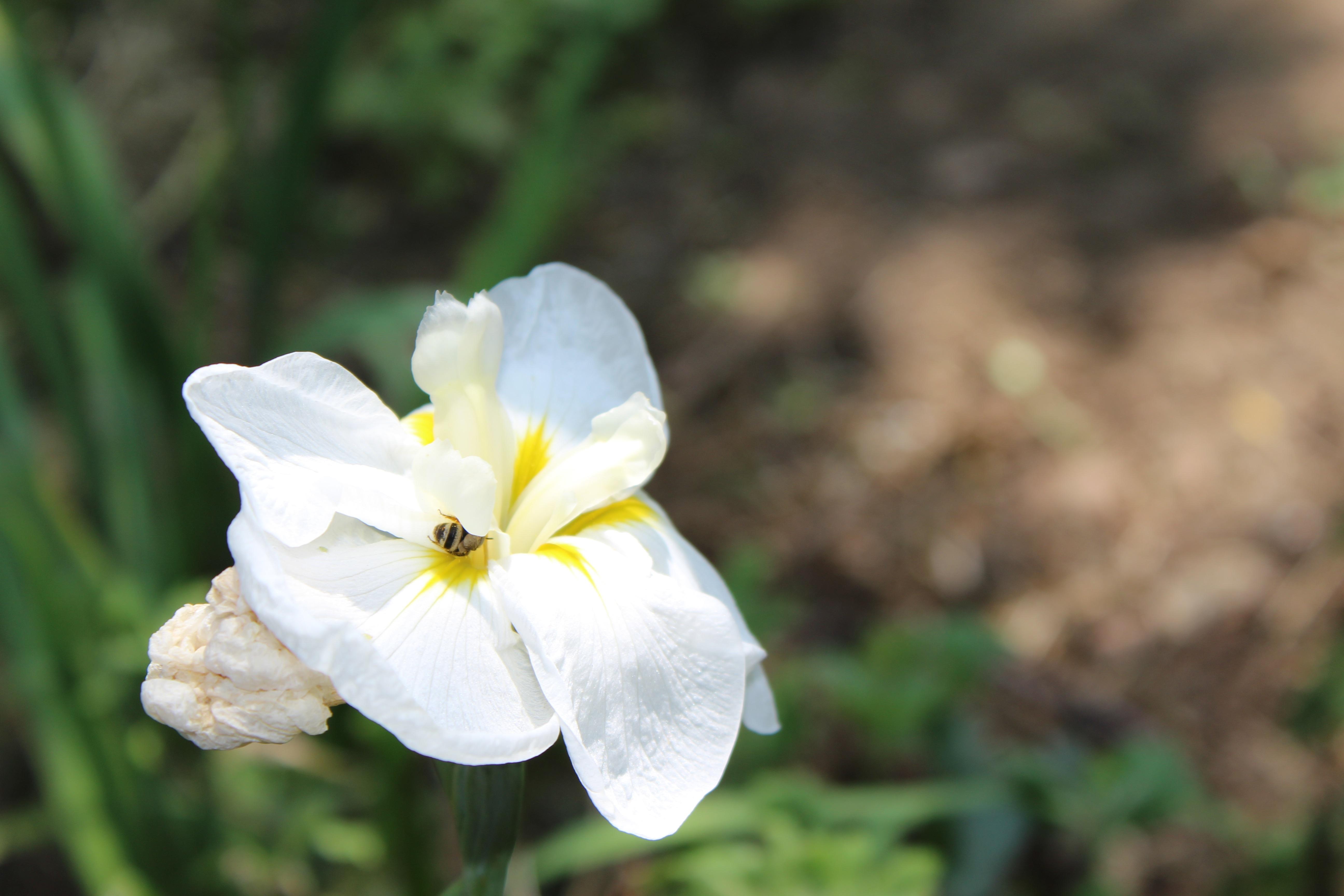 花菖蒲(はなしょうぶ)の艶やかな花が咲いていました。
