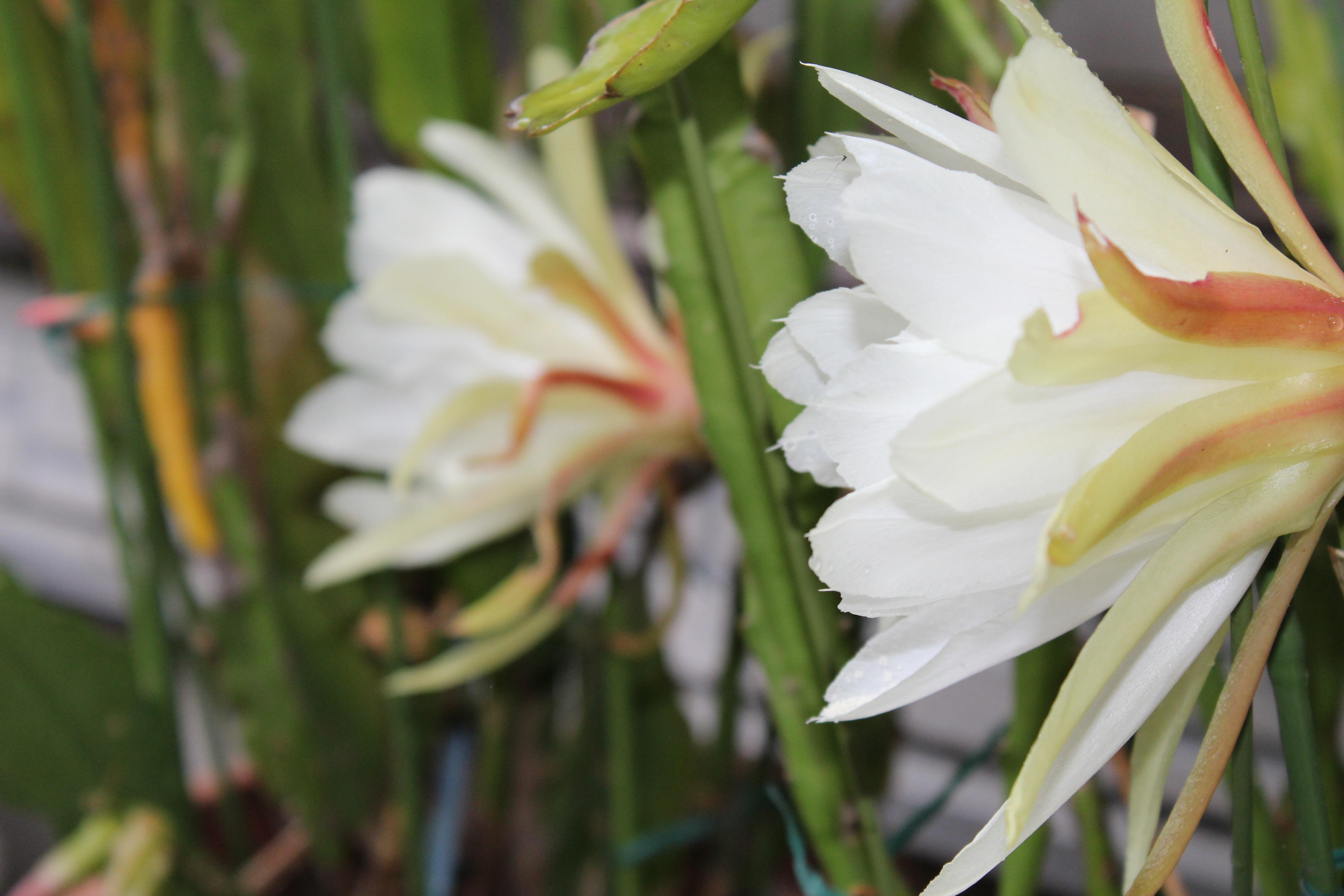 孔雀仙人掌(くじゃくさぼてん)の豪華絢爛な花が咲いていました。