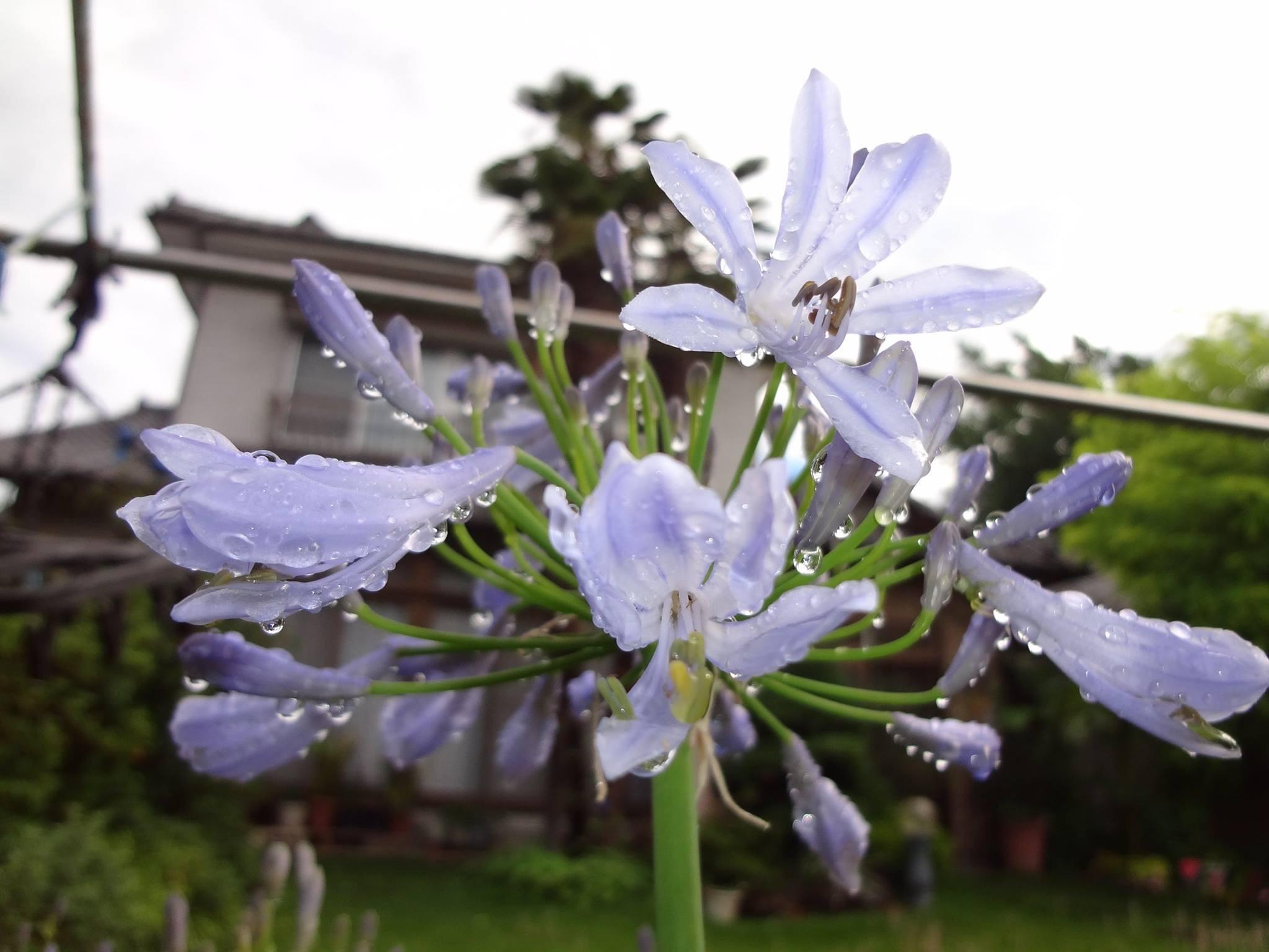 紫君子蘭(むらさきくんしらん)の花が咲いてきました。