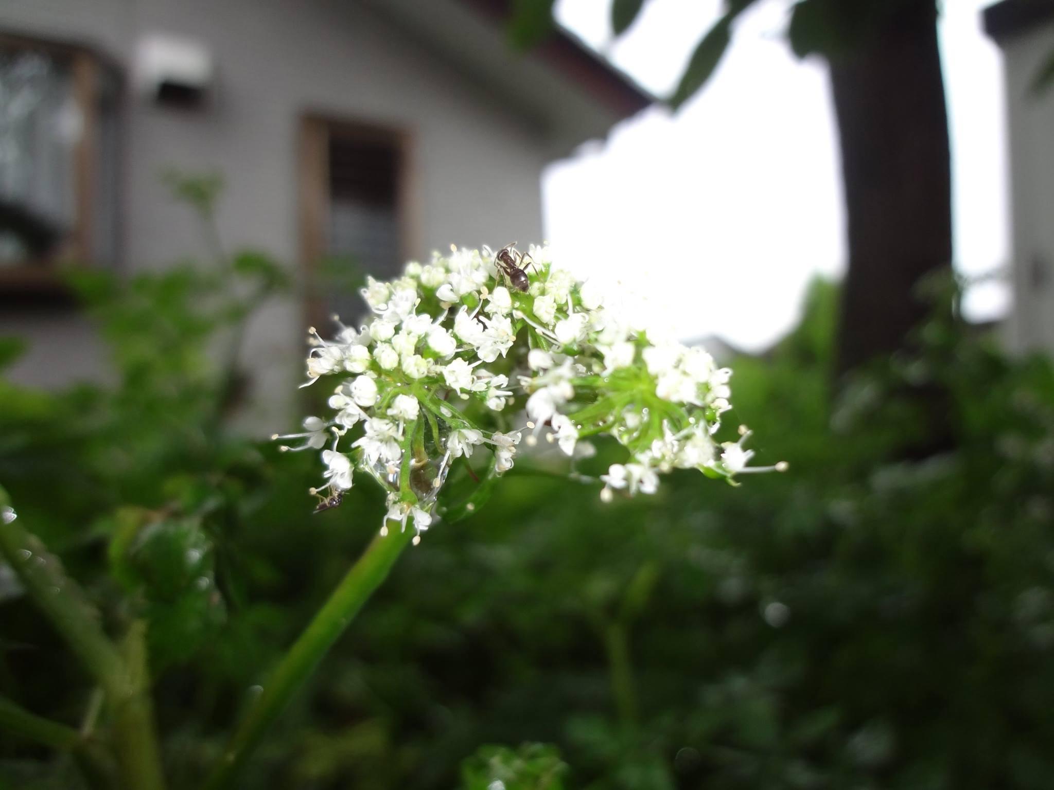 可愛らしい、芹(せり)の花です。