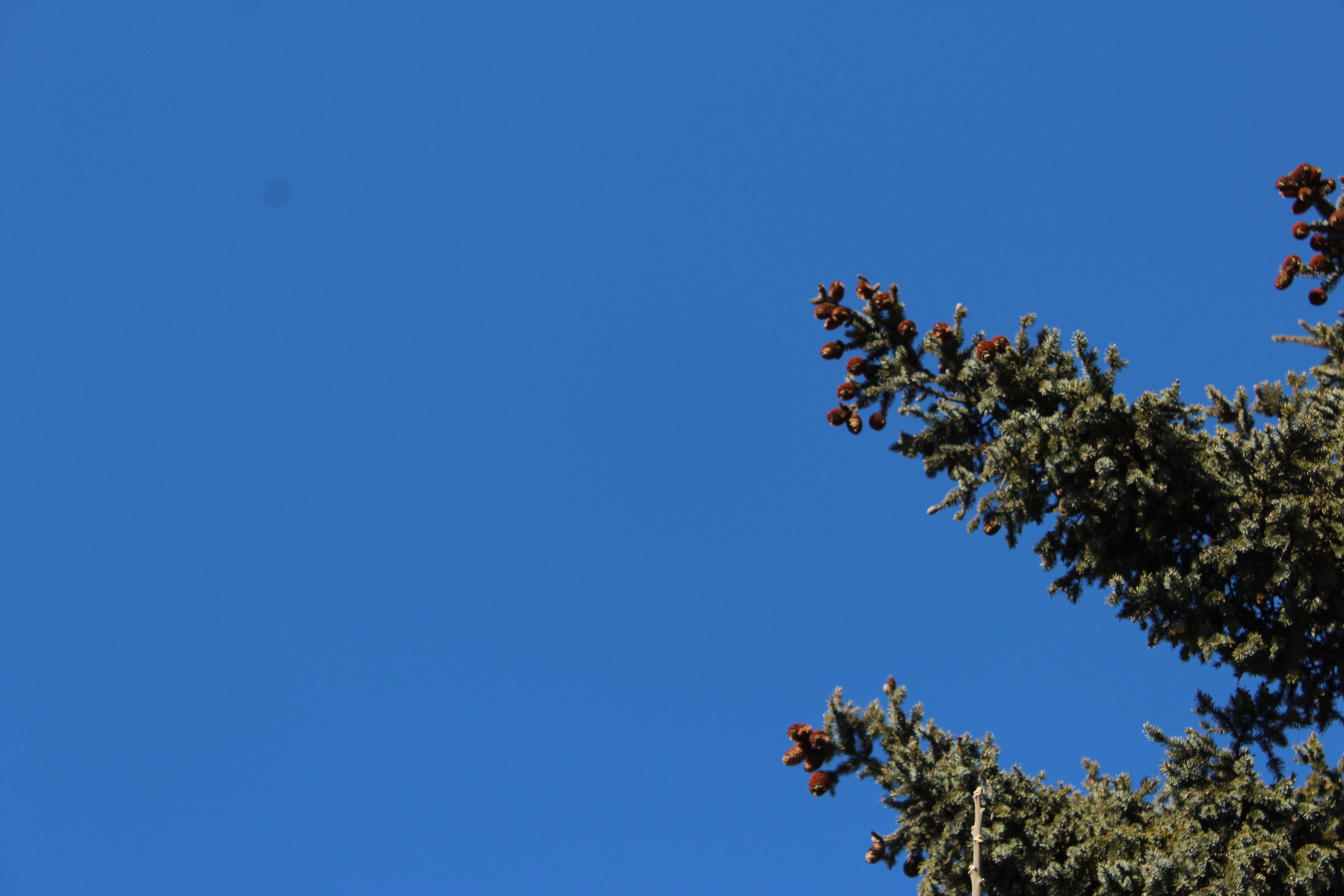 樅(もみ)の木が、たくさんの実を付けています。