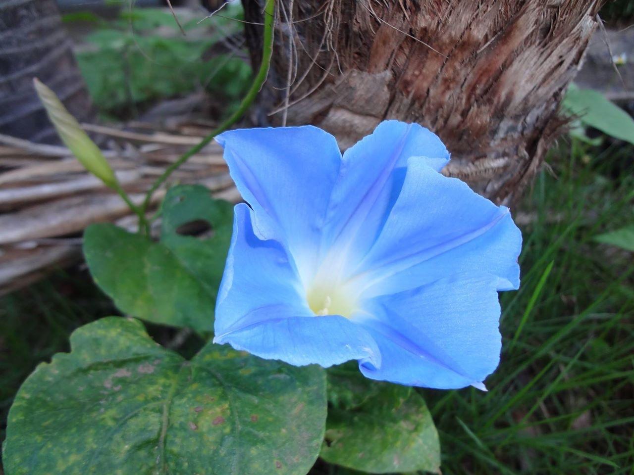 西洋朝顔の「天上の蒼(てんじょうのあお)」の花です。
