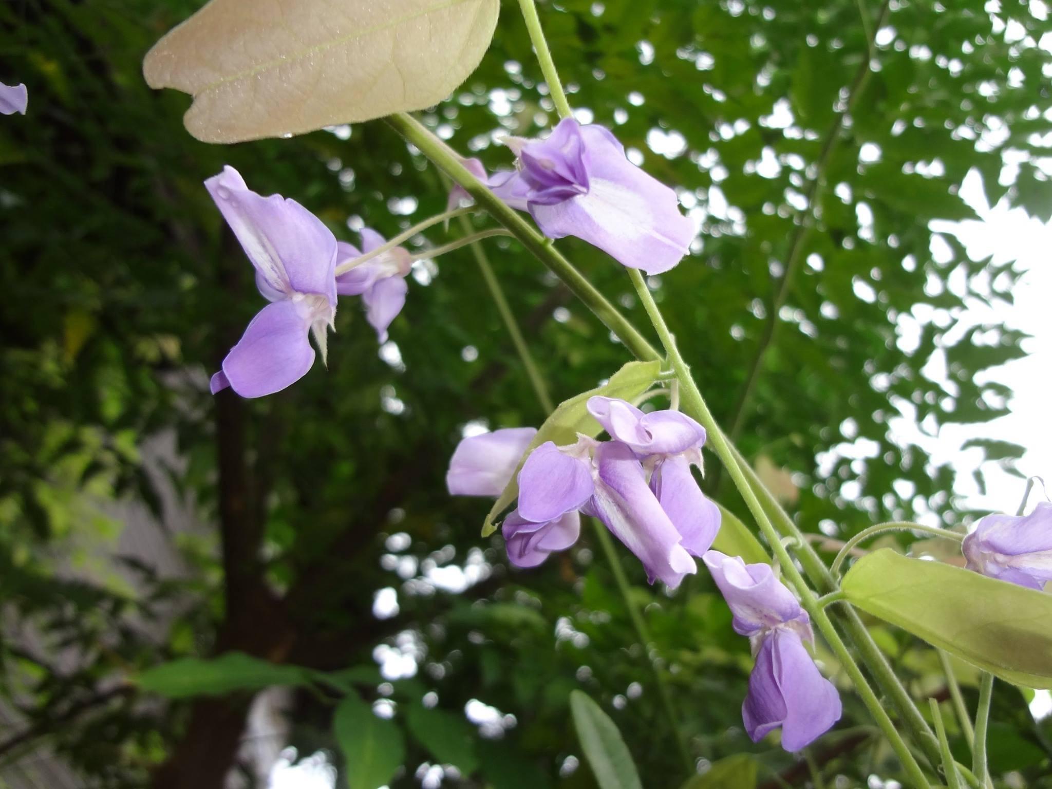 季節外れの藤(ふじ)の花が咲いていました。