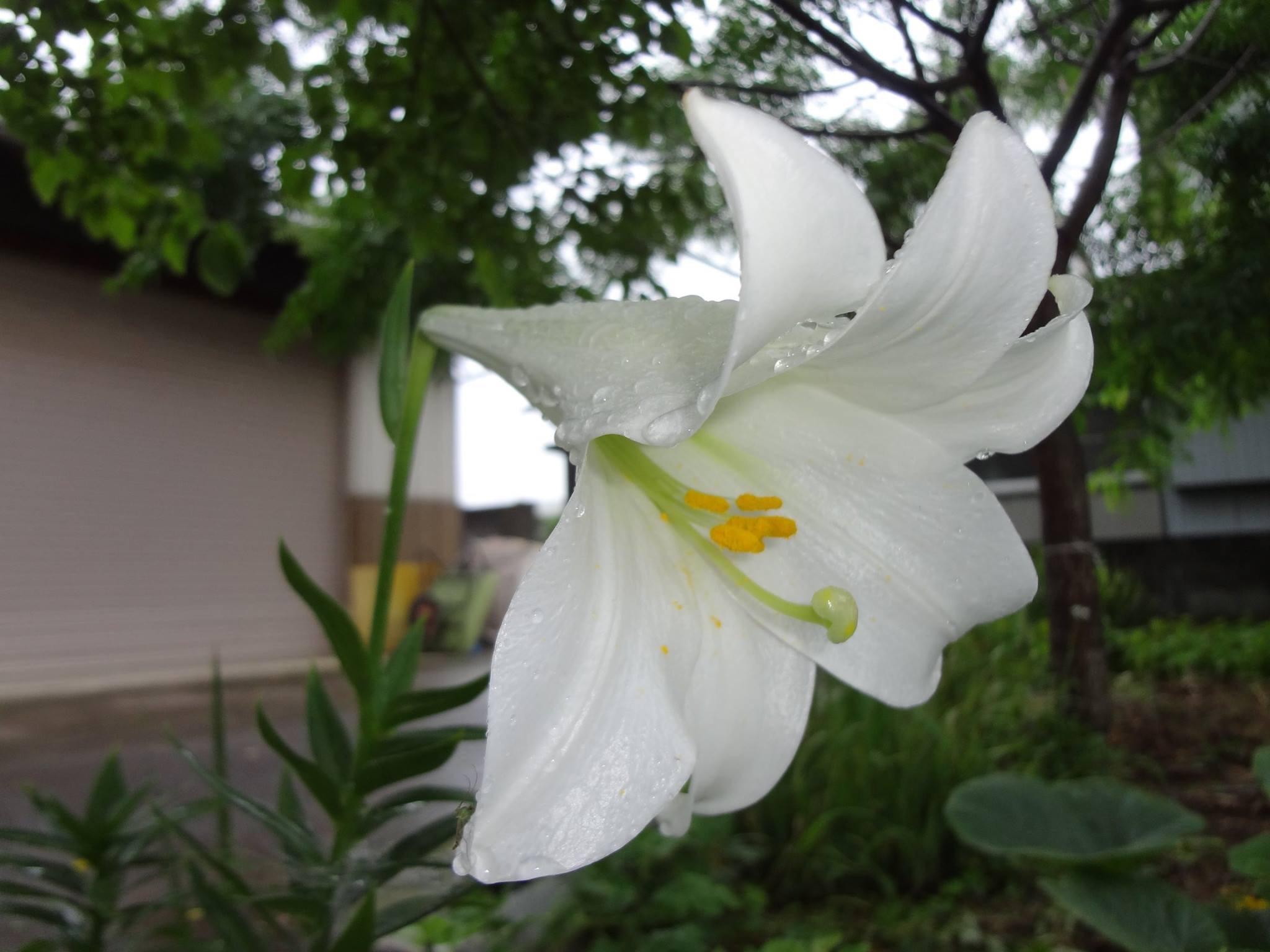 白い百合が咲いてきました。