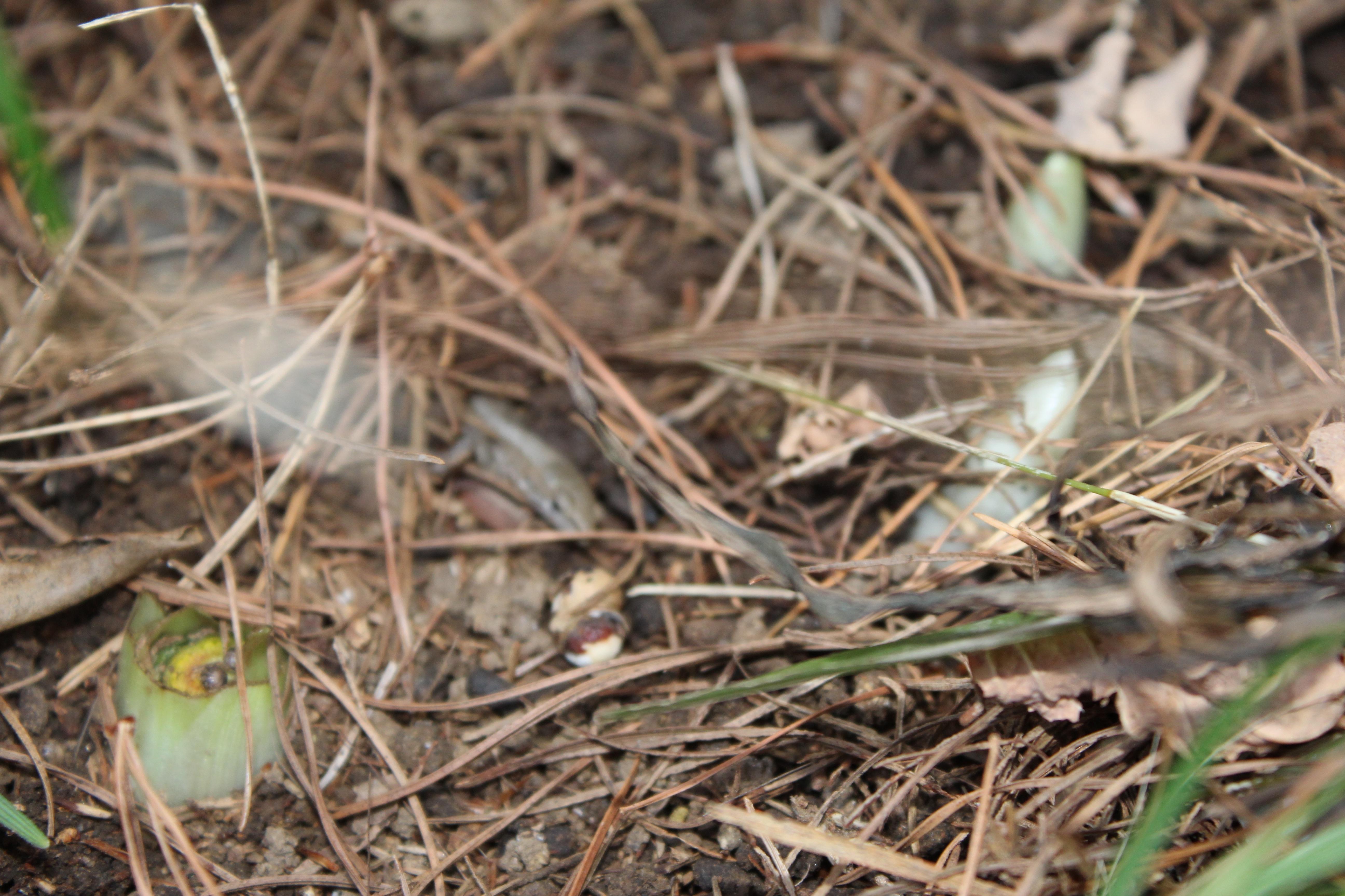 福寿草(ふくじゅそう)の芽吹きを見つけました。