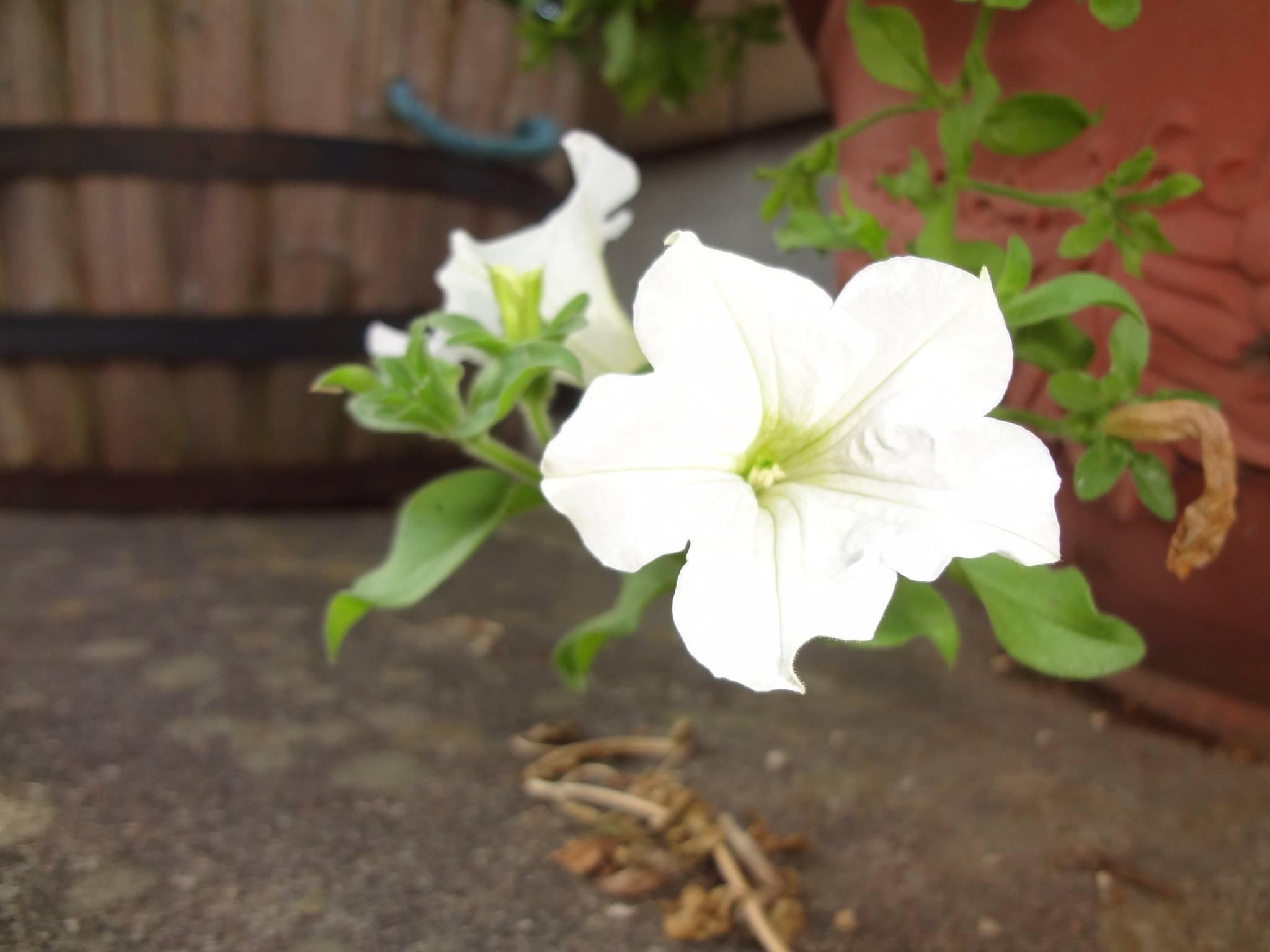 ペチュニアの改良種、サフィニアの花です。