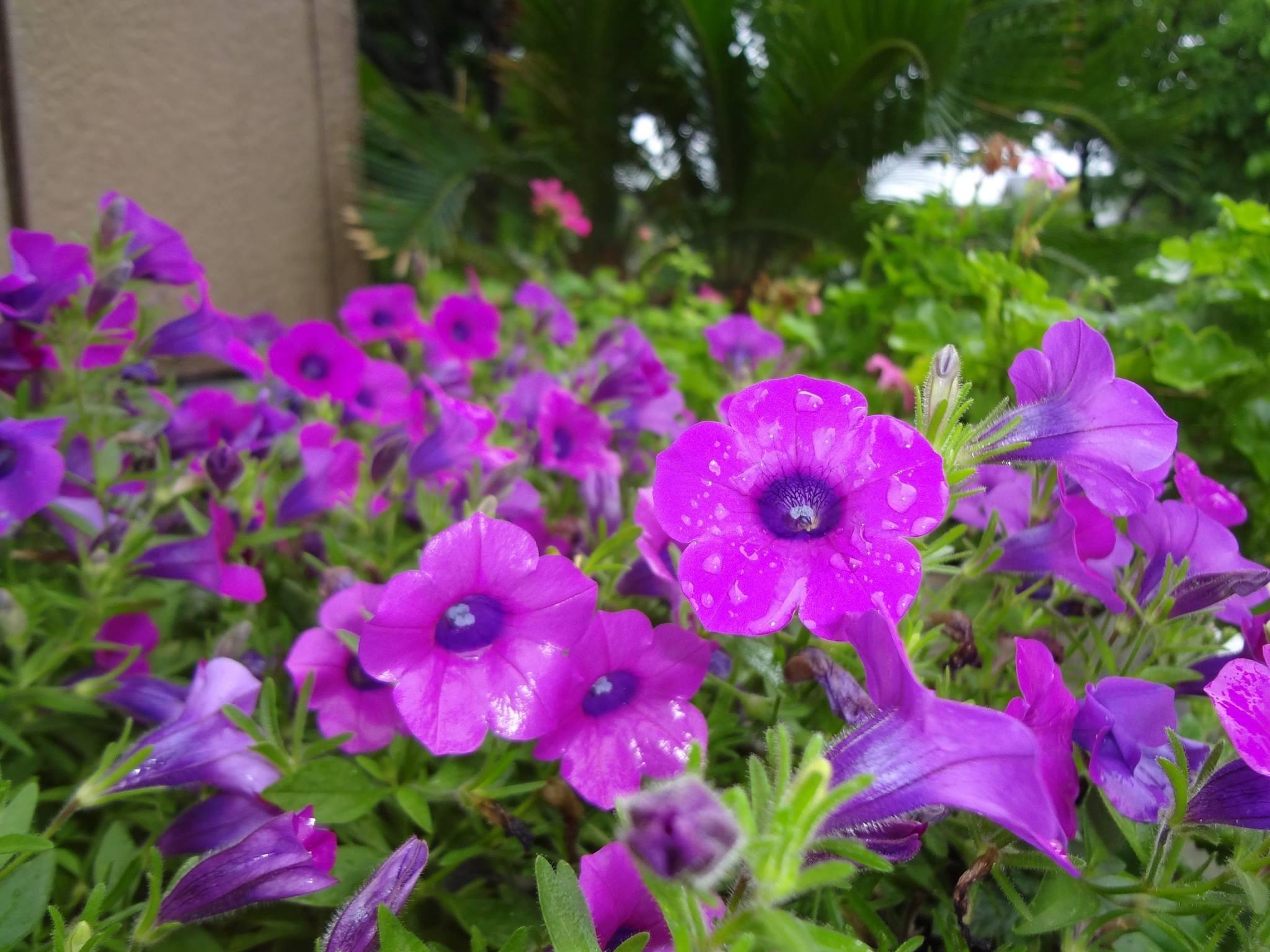 衝羽根朝顔(つくばねあさがお)ペチュニアの花です。