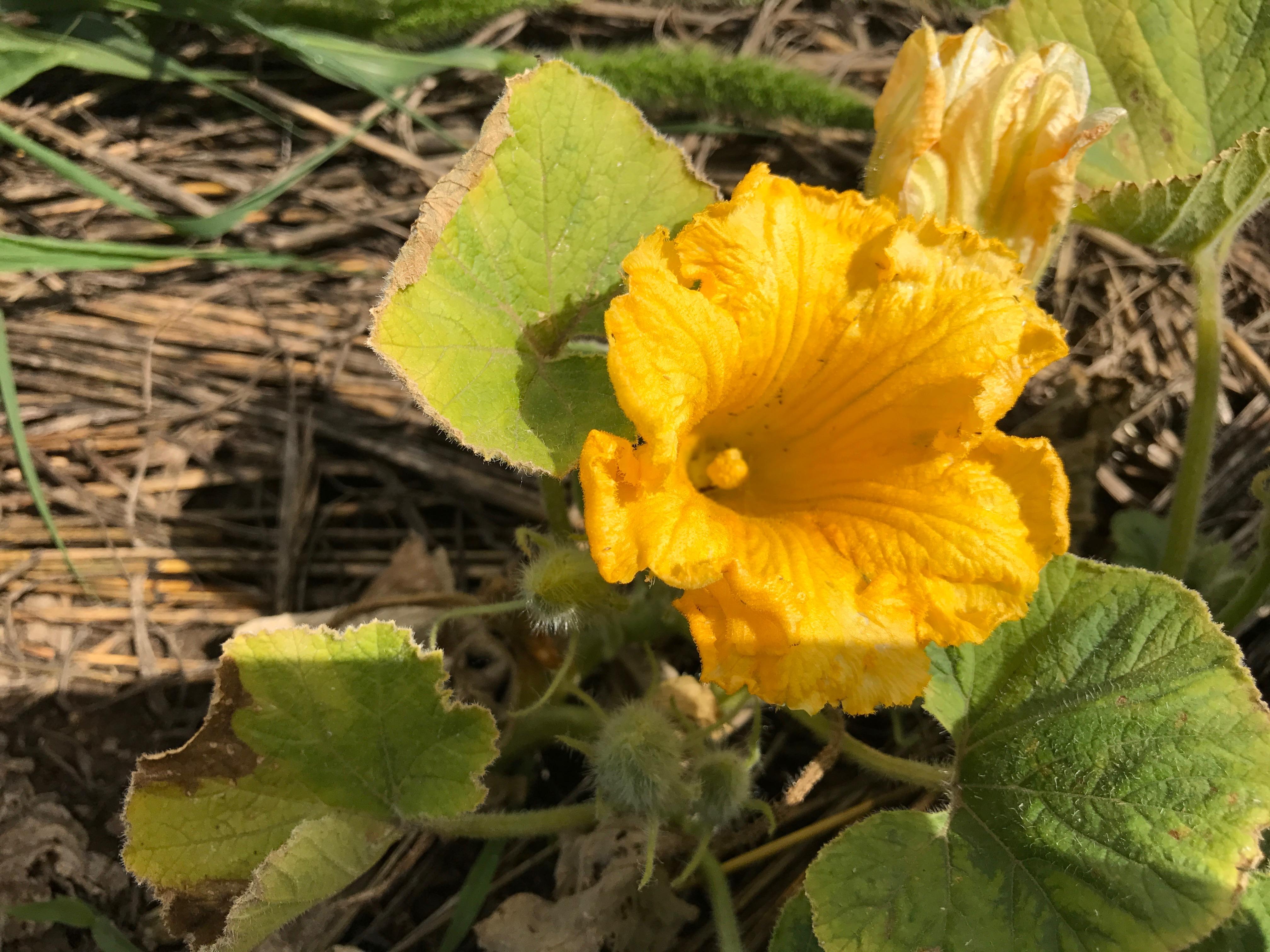 零れ種子の南瓜(かぼちゃ)の花が咲いていました。