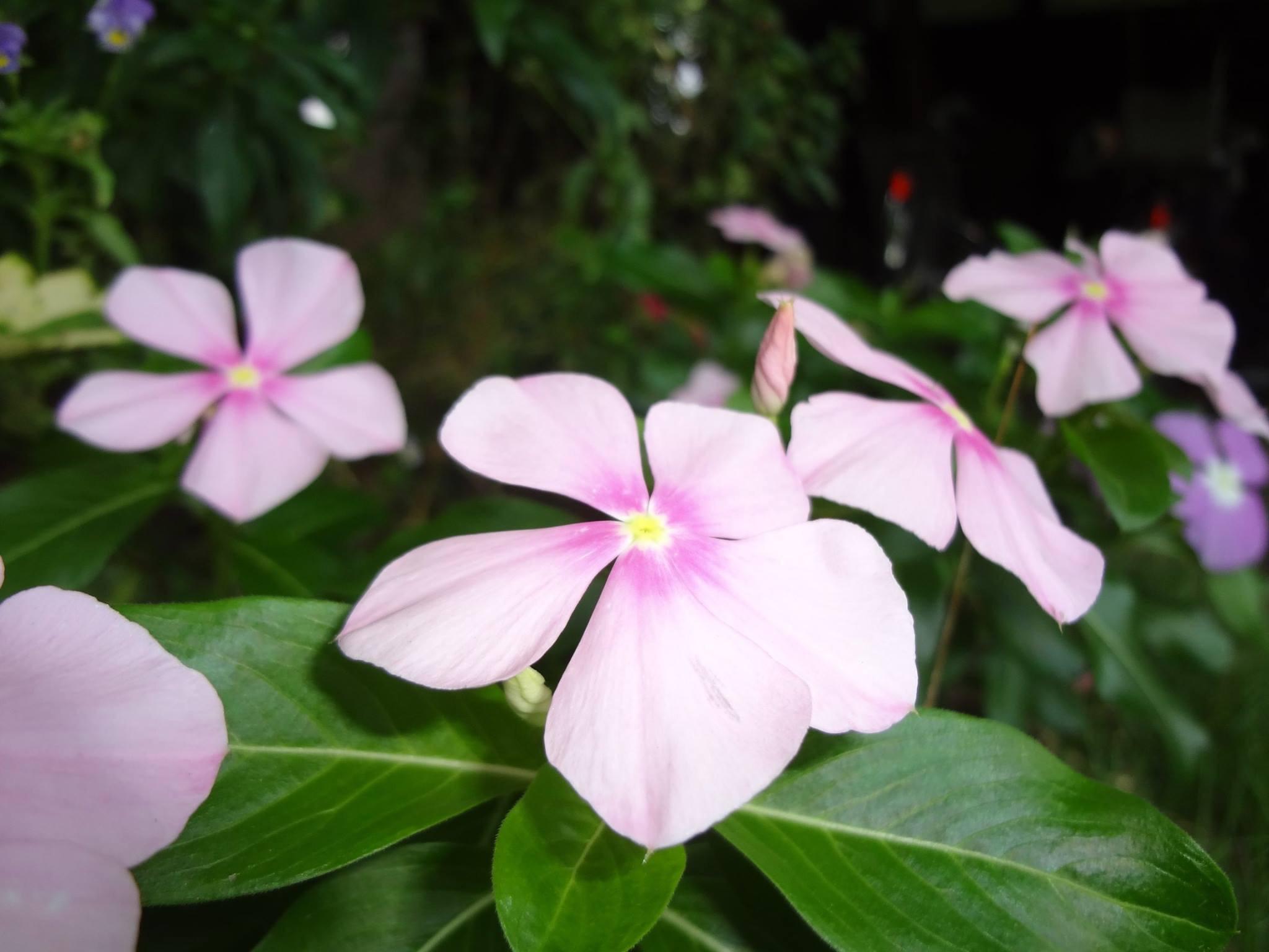 日々草(にちにちそう)の可愛らしい花も、たくさん咲いています。