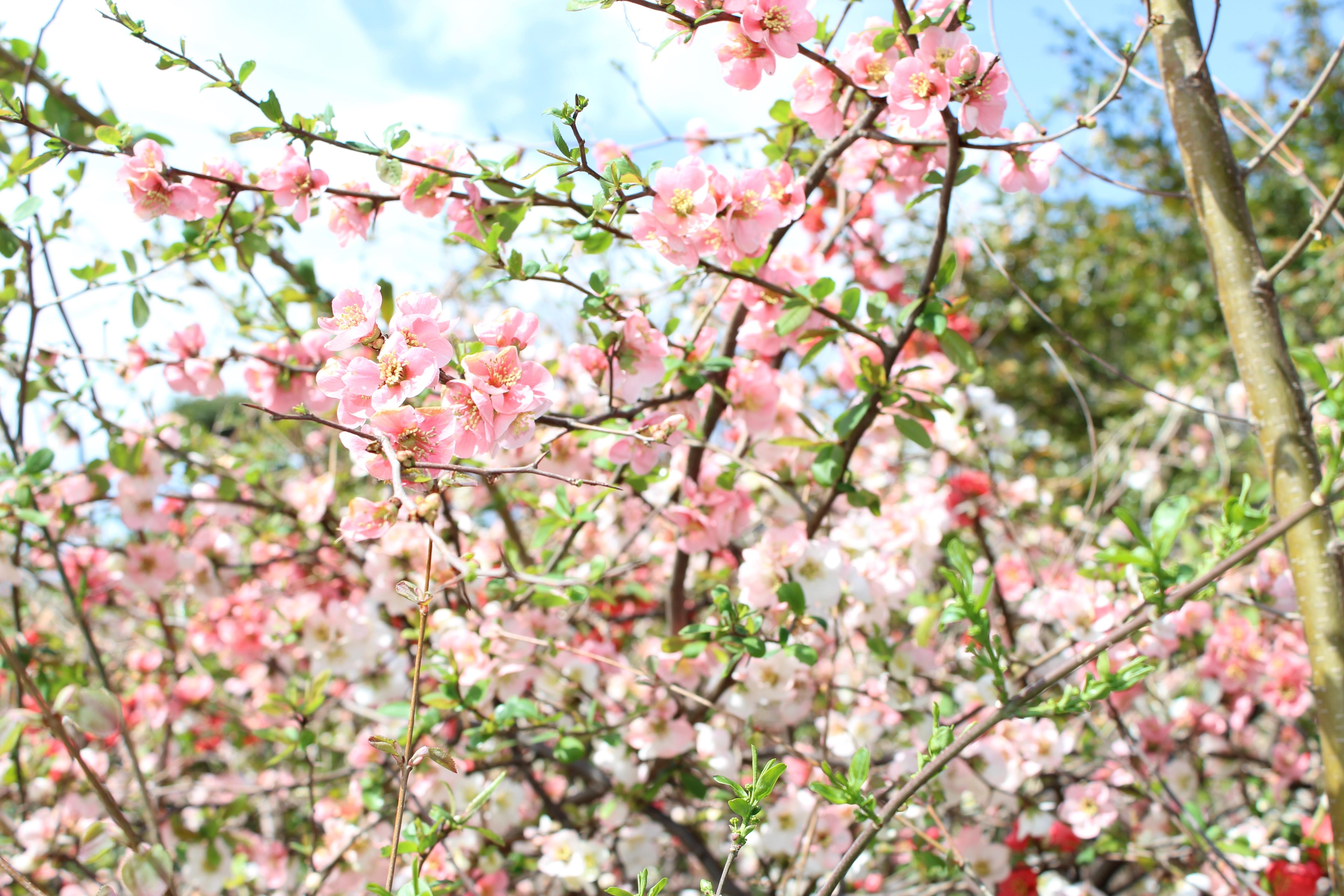 満開の木瓜(ぼけ)も、春の楽しみのひとつですね。
