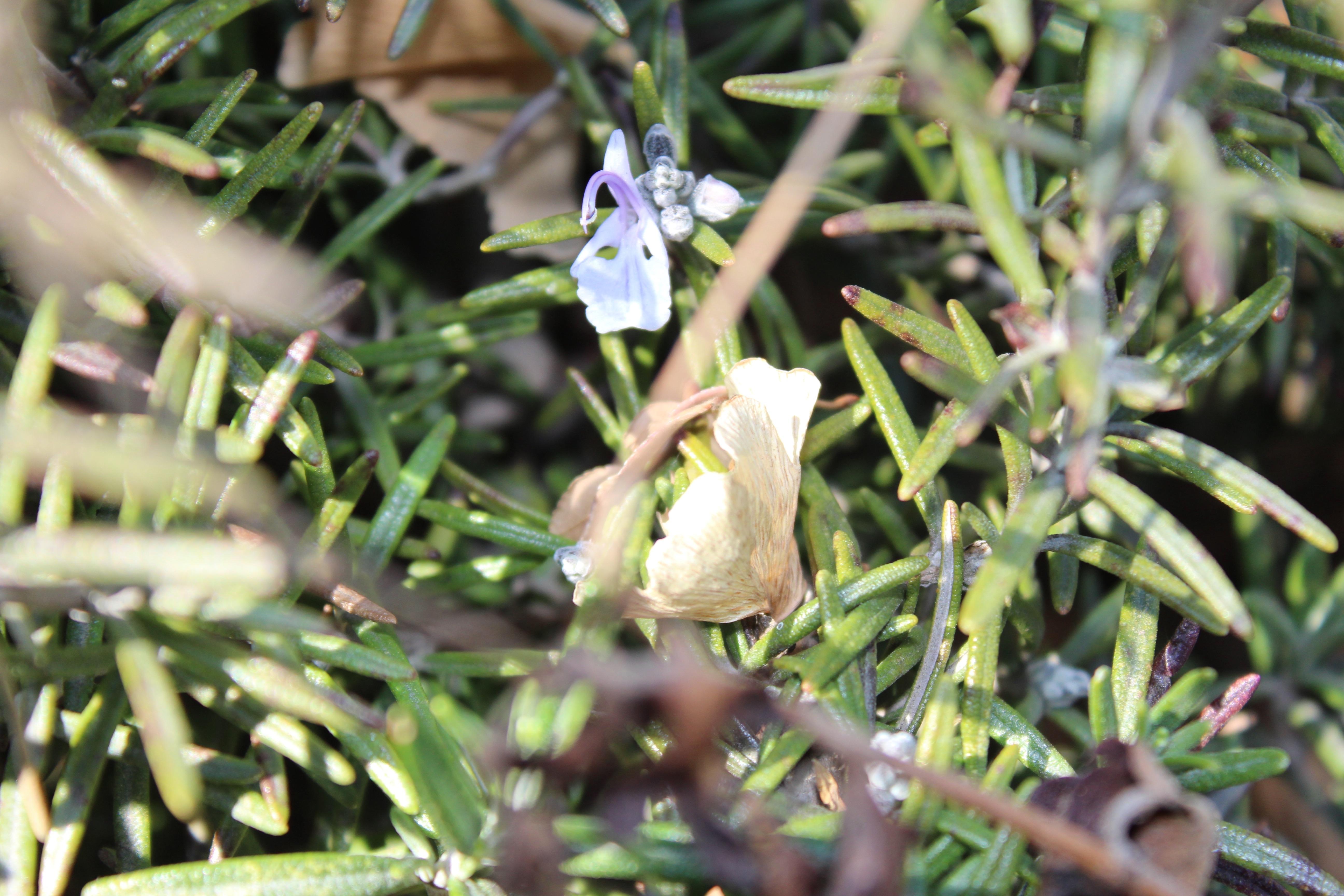 しばらく見かけなかった、ローズマリーの花が咲いていました。