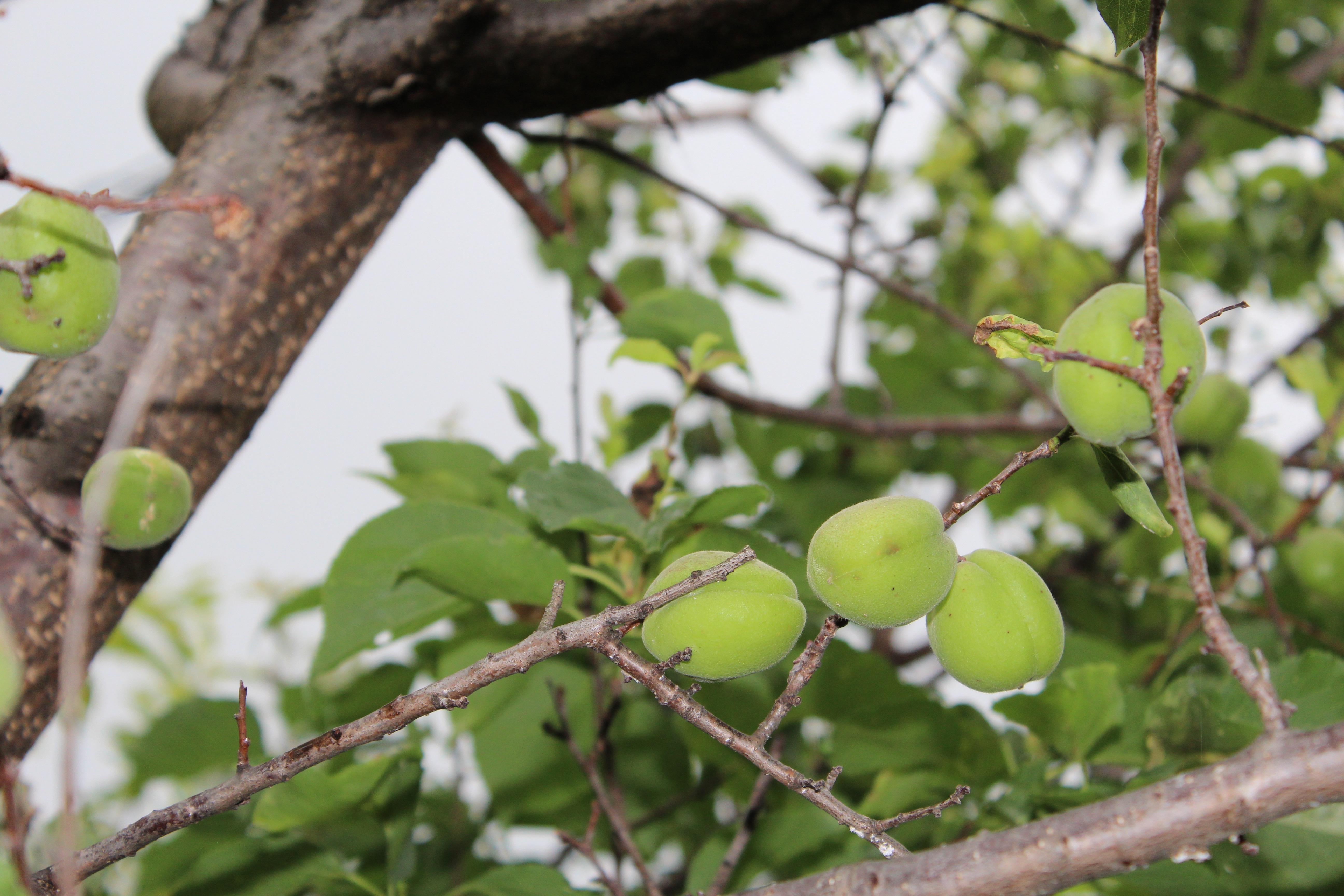 これから色づいてくる杏(あんず)の実がたくさん稔っています。