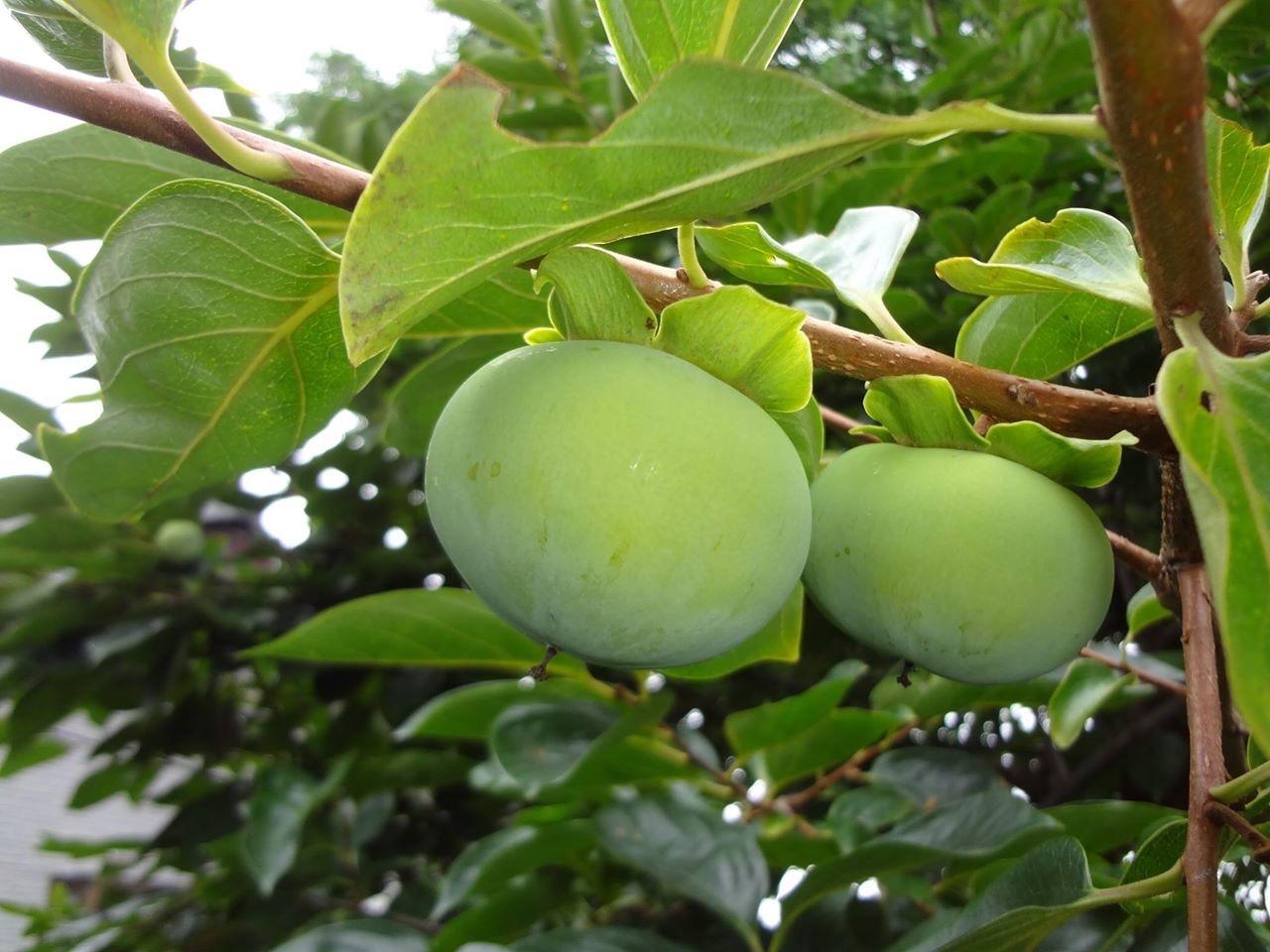 柿(かき)の実も大きくなっています。