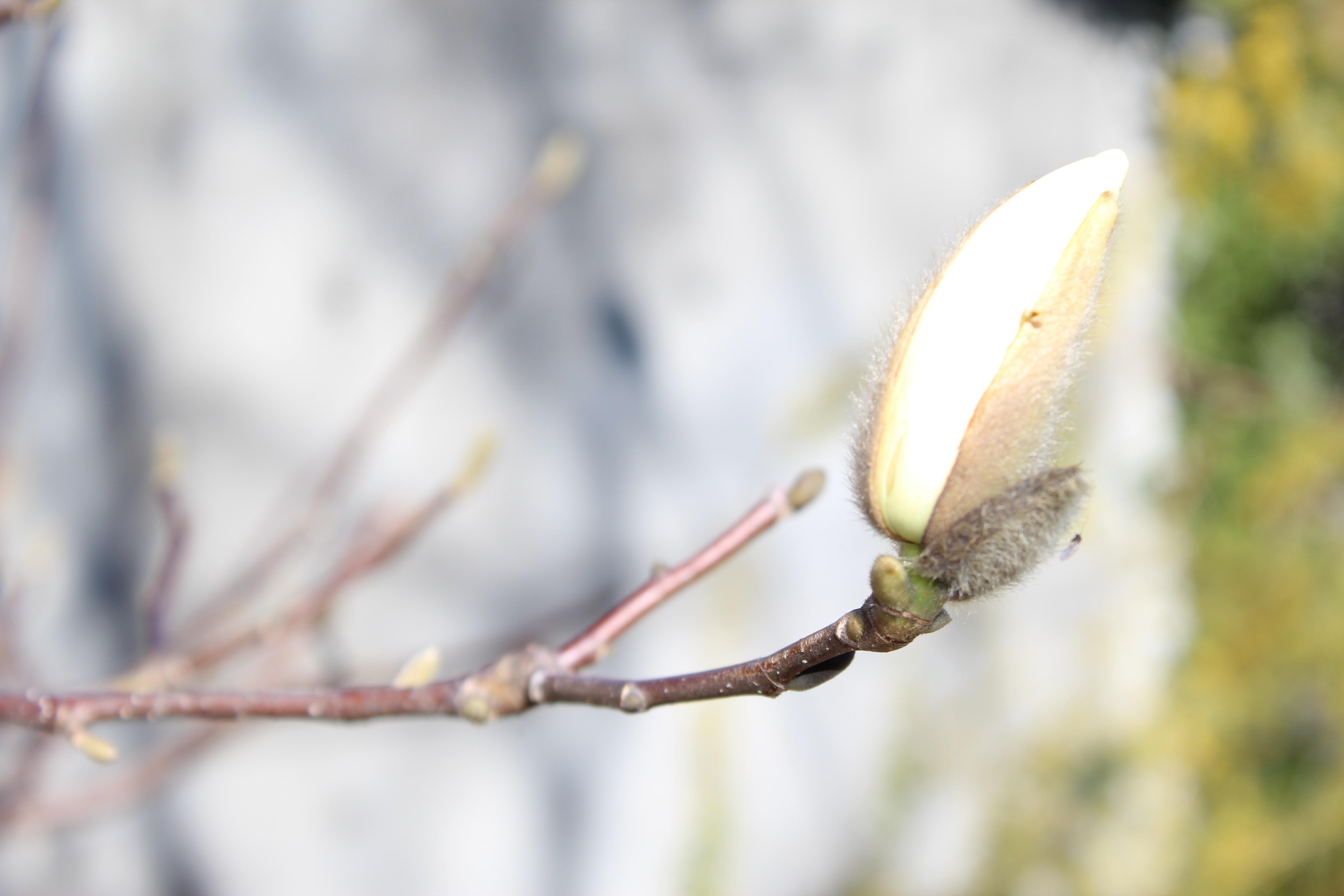 白木蓮(はくもくれん)の花もいよいよ咲き出しそうです。