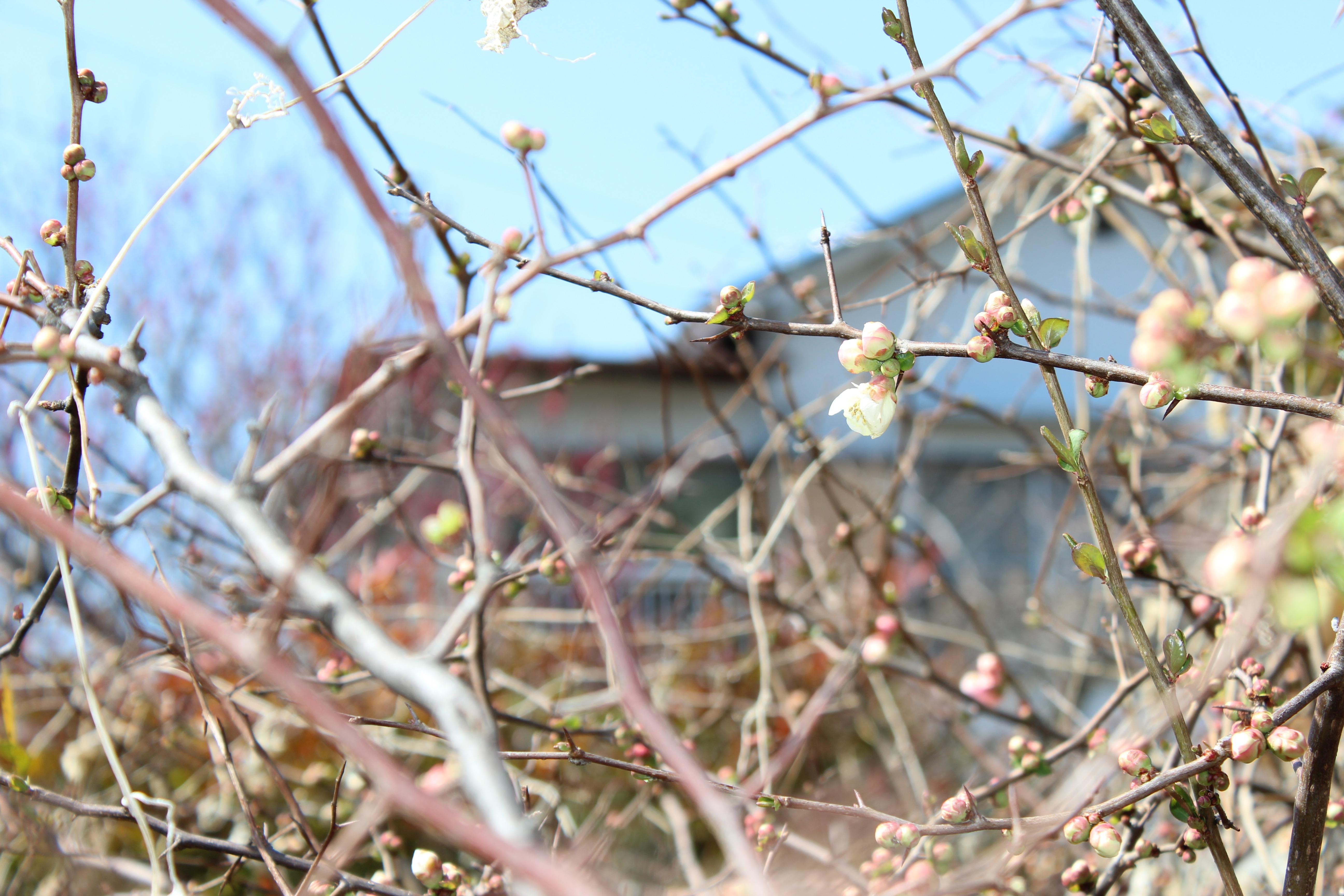 木瓜(ぼけ)の花が咲き始めました。