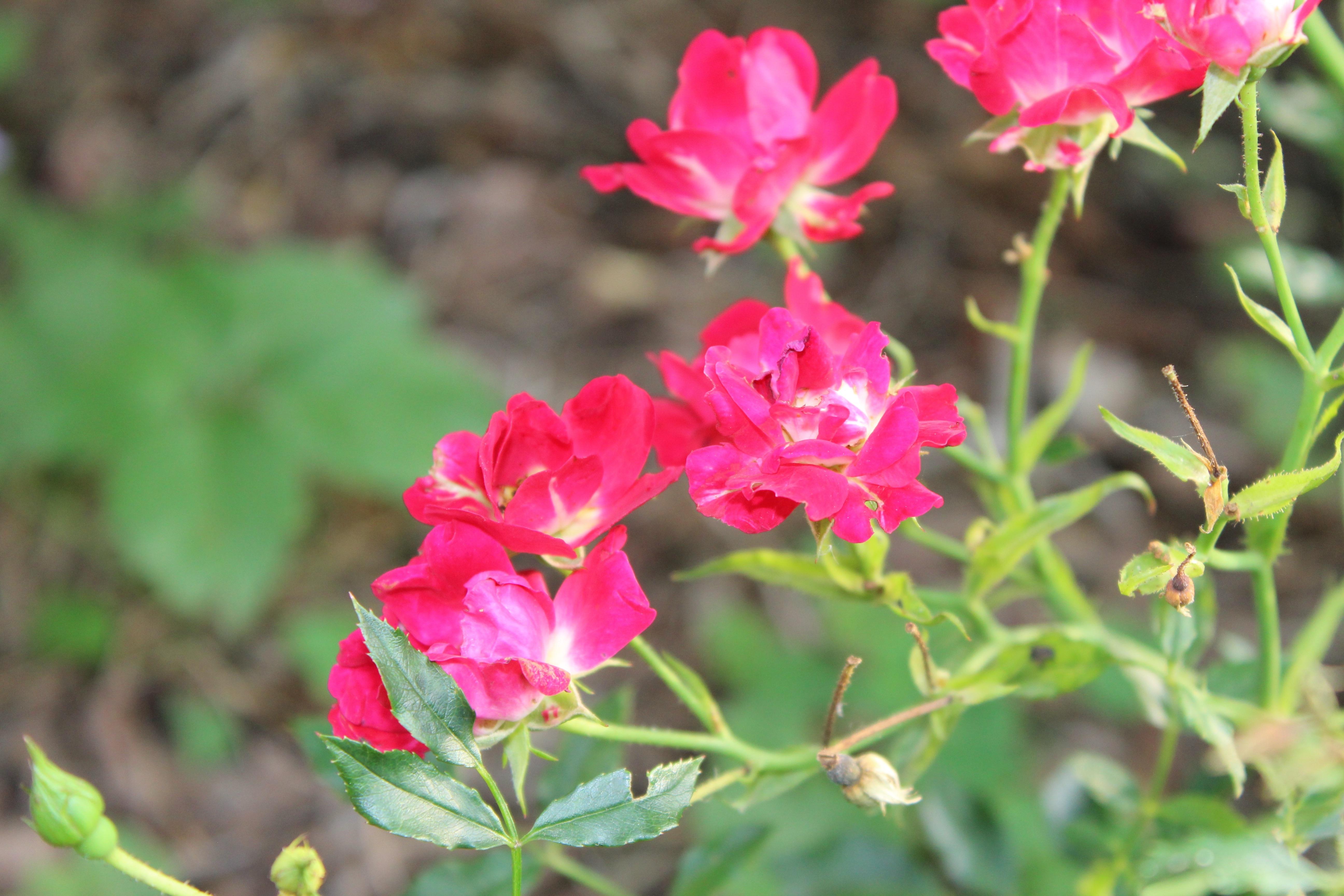 ドリフト薔薇の愛らしい花が咲いてきました。