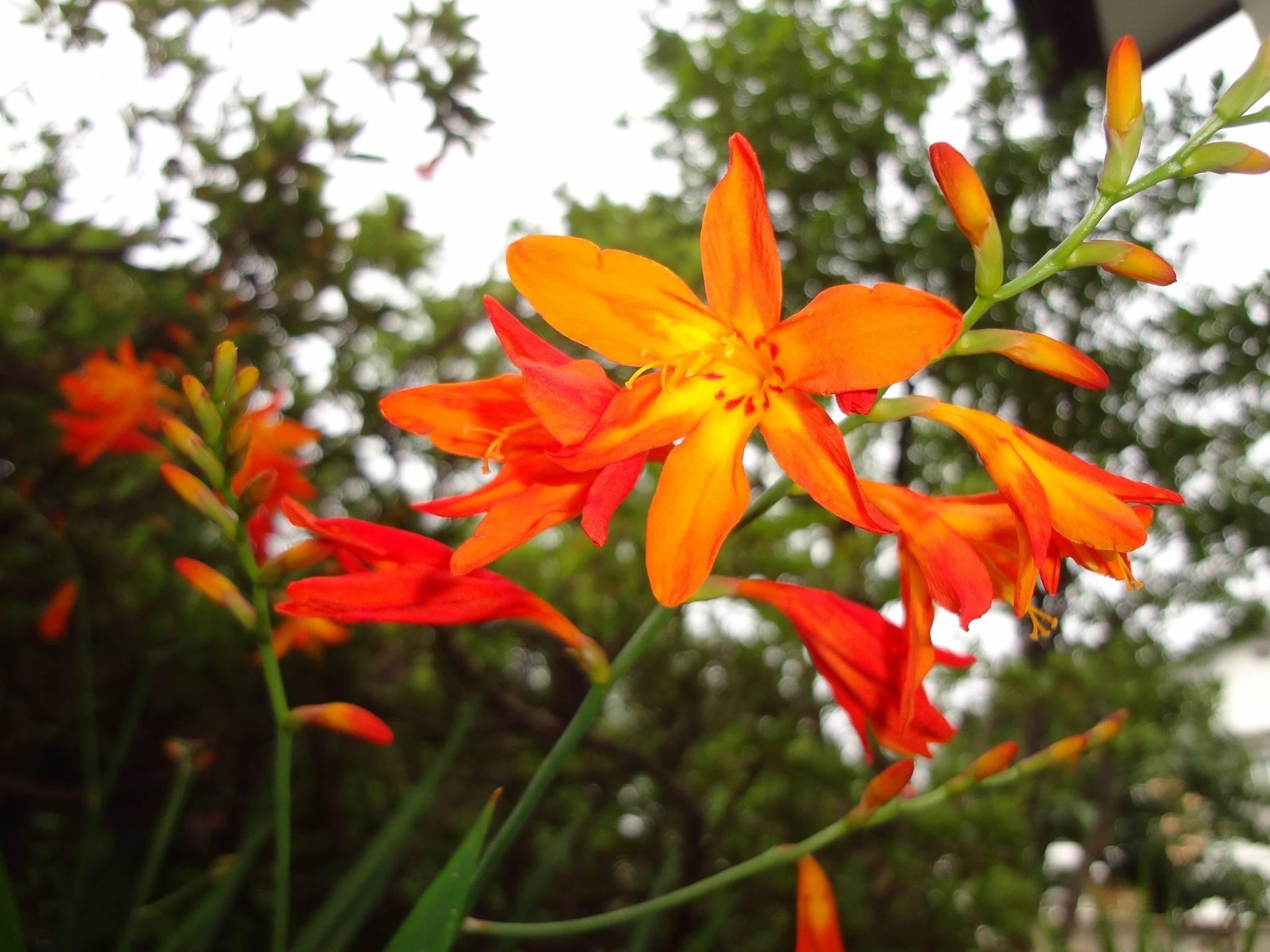 鮮やかなオレンジが映える、姫檜扇水仙(ひめひおうぎすいせん)の花です。