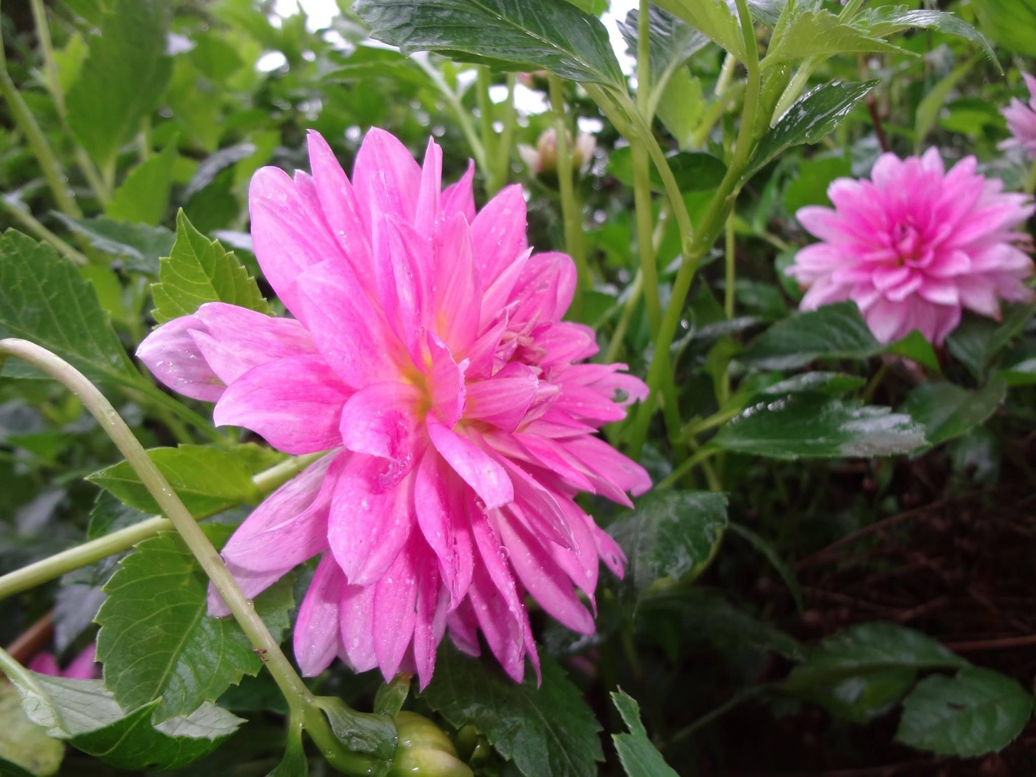 天竺牡丹(てんじくぼたん)ダリアの花です。