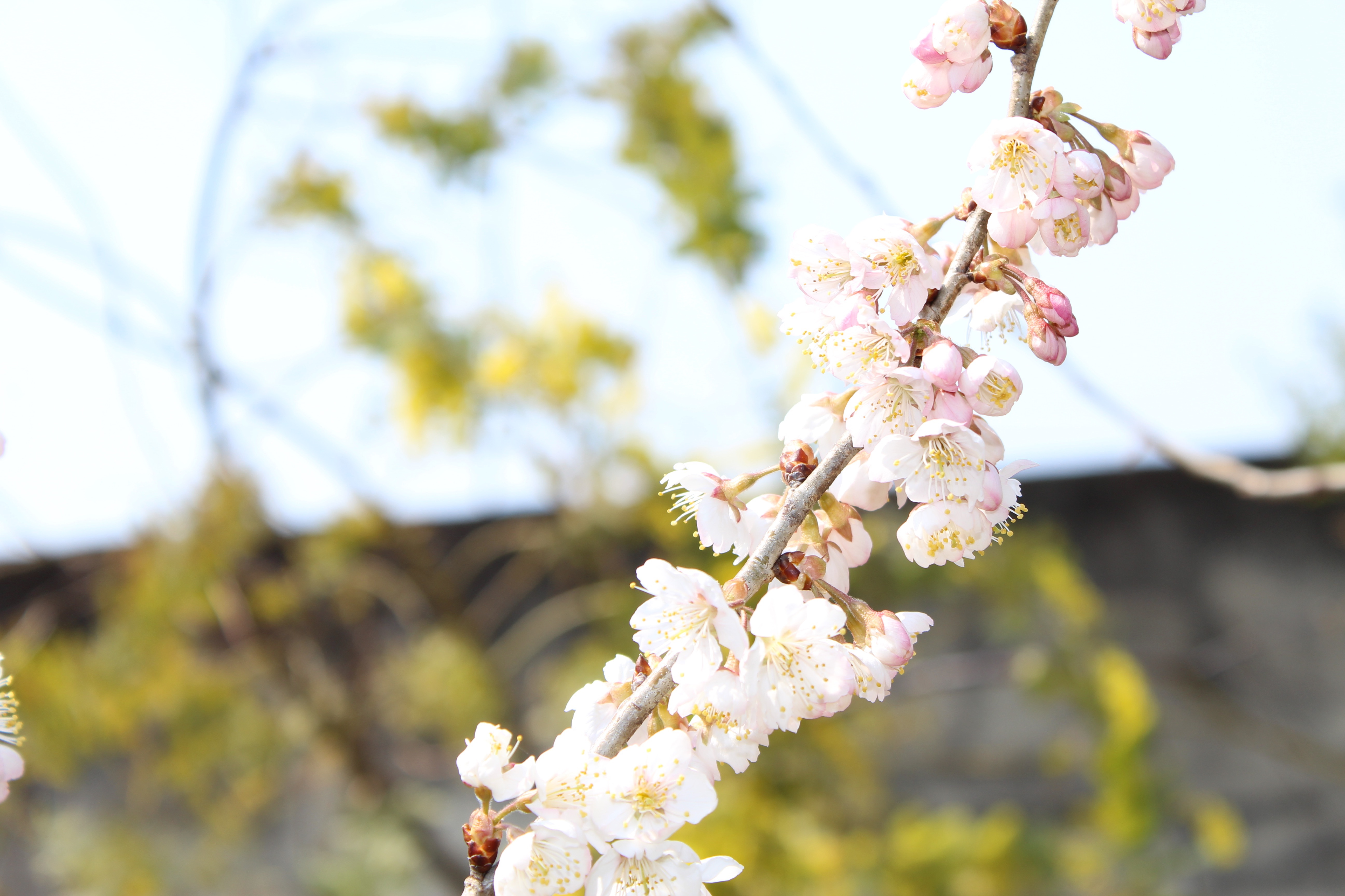 桜桃(さくらんぼ)の花が、一気に咲き出してきました。