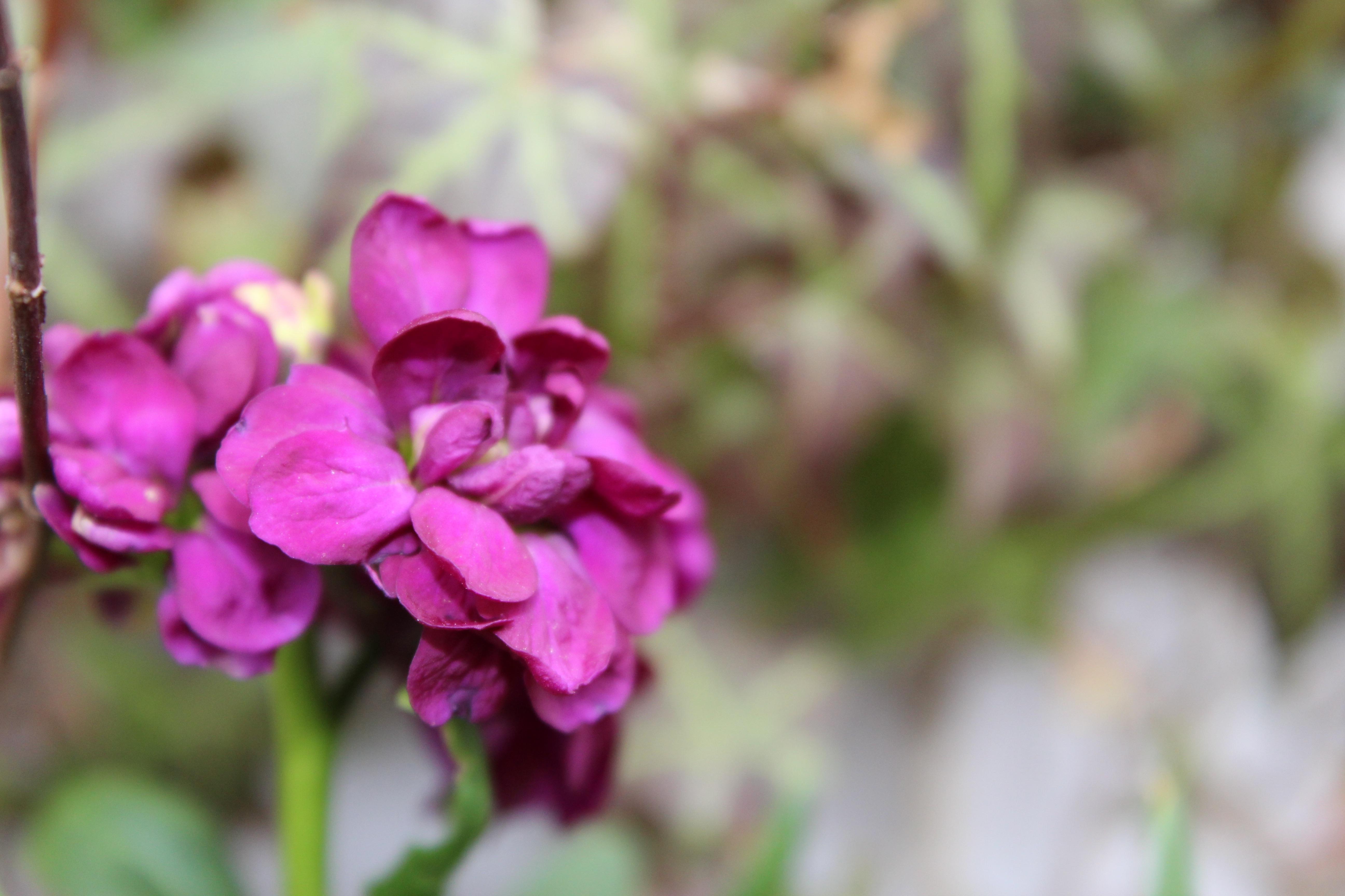 夏越しして咲いてきた、紫羅欄花(あらせいとう)ストックの花です。